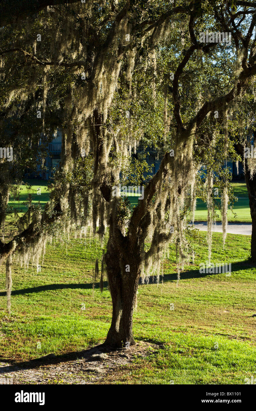 Spanish moss (Tillandsia usneoides) on a Southern Live Oak tree, Central Florida, USA - Stock Image