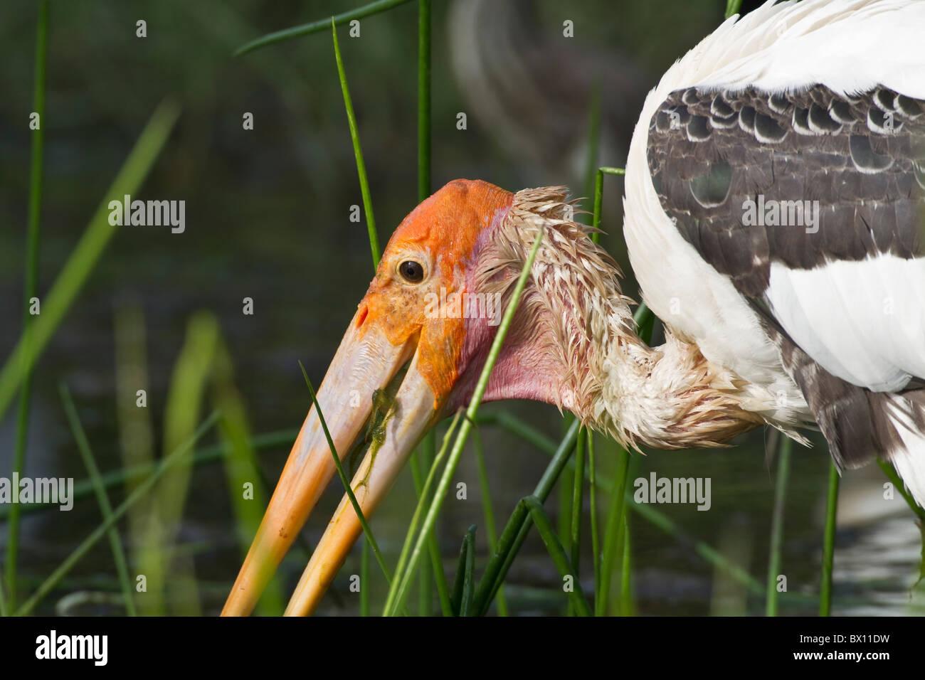 Painted Stork (Mycteria leucocephala) eating/feeding on a frog - Stock Image