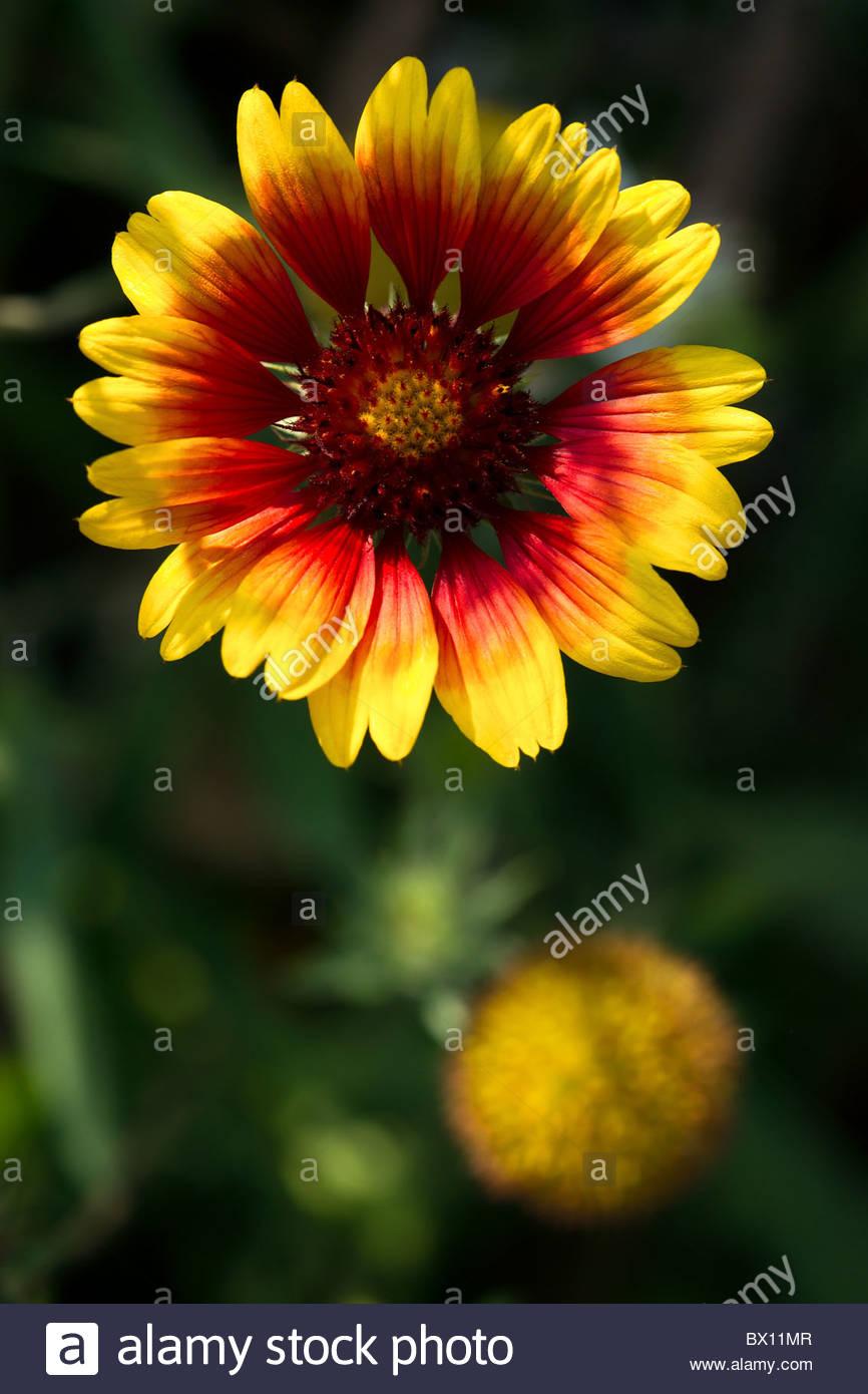 Gaillardia pulchella - Indian Blanket Flower - Stock Image