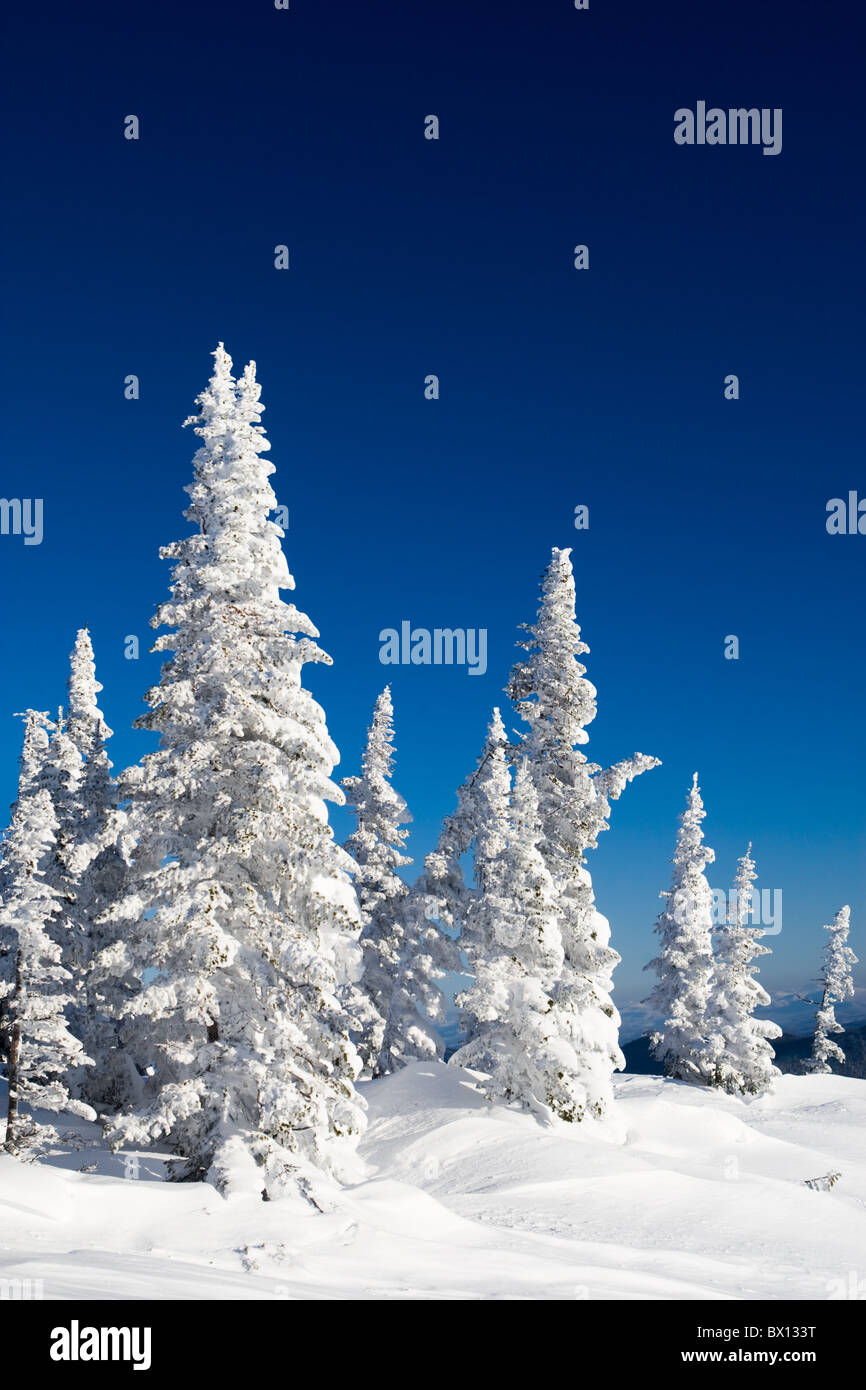 Photo of wonderful scene of snowcovered firtrees with blue sky above - Stock Image