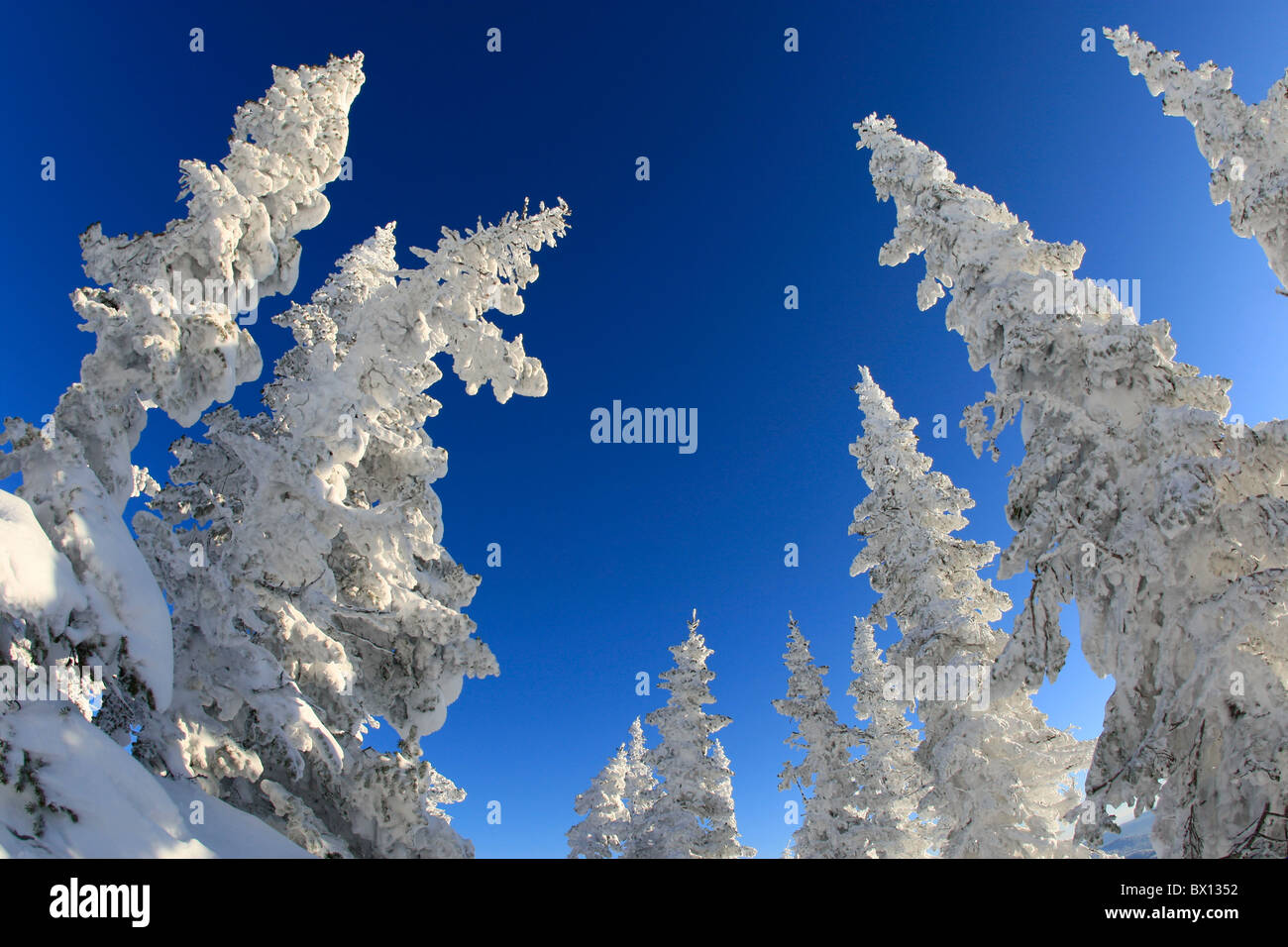 View from below of snow-covered fir trees tops with blue sky upon them - Stock Image