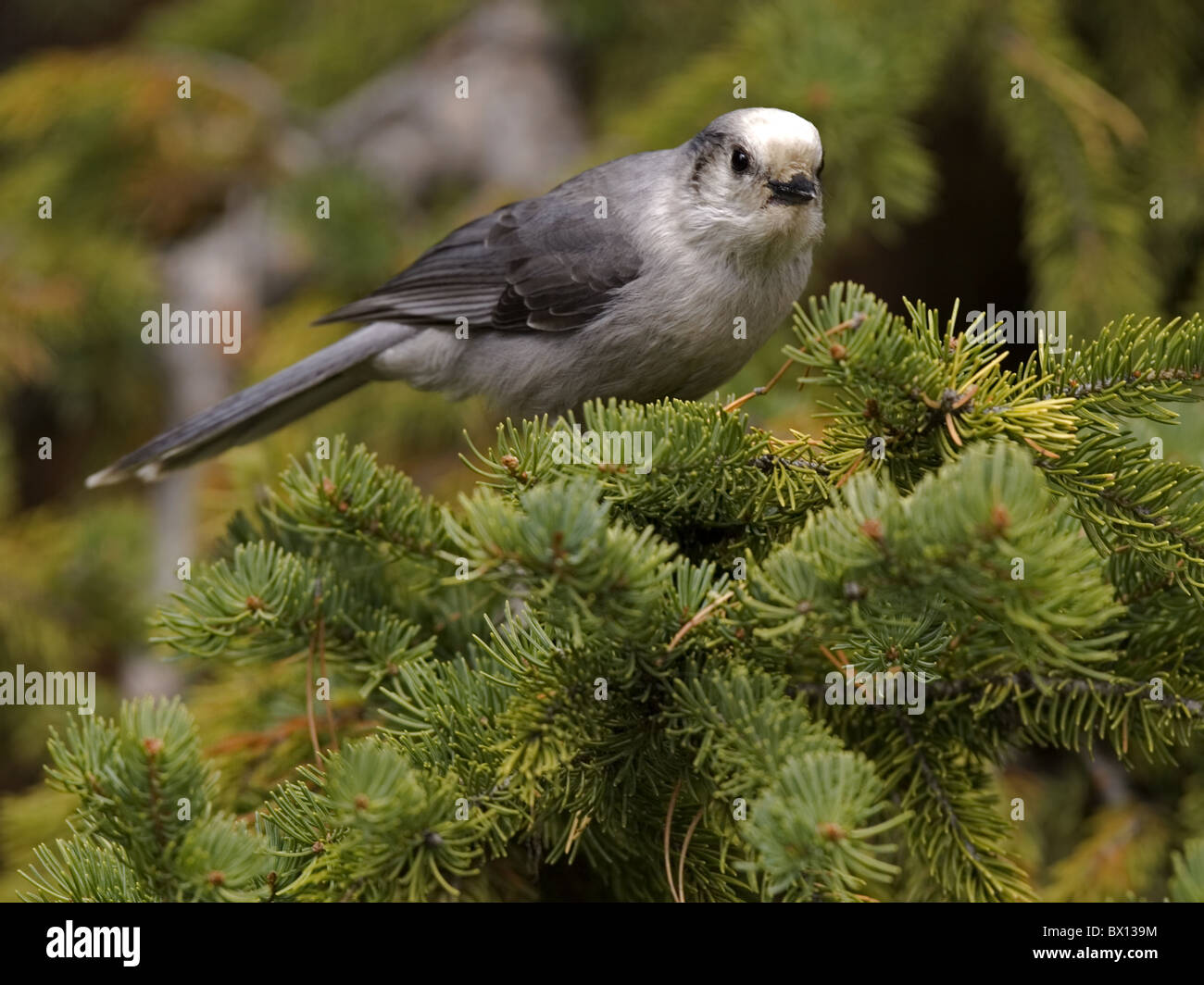 Grey, gray jay perched on conifer - Stock Image
