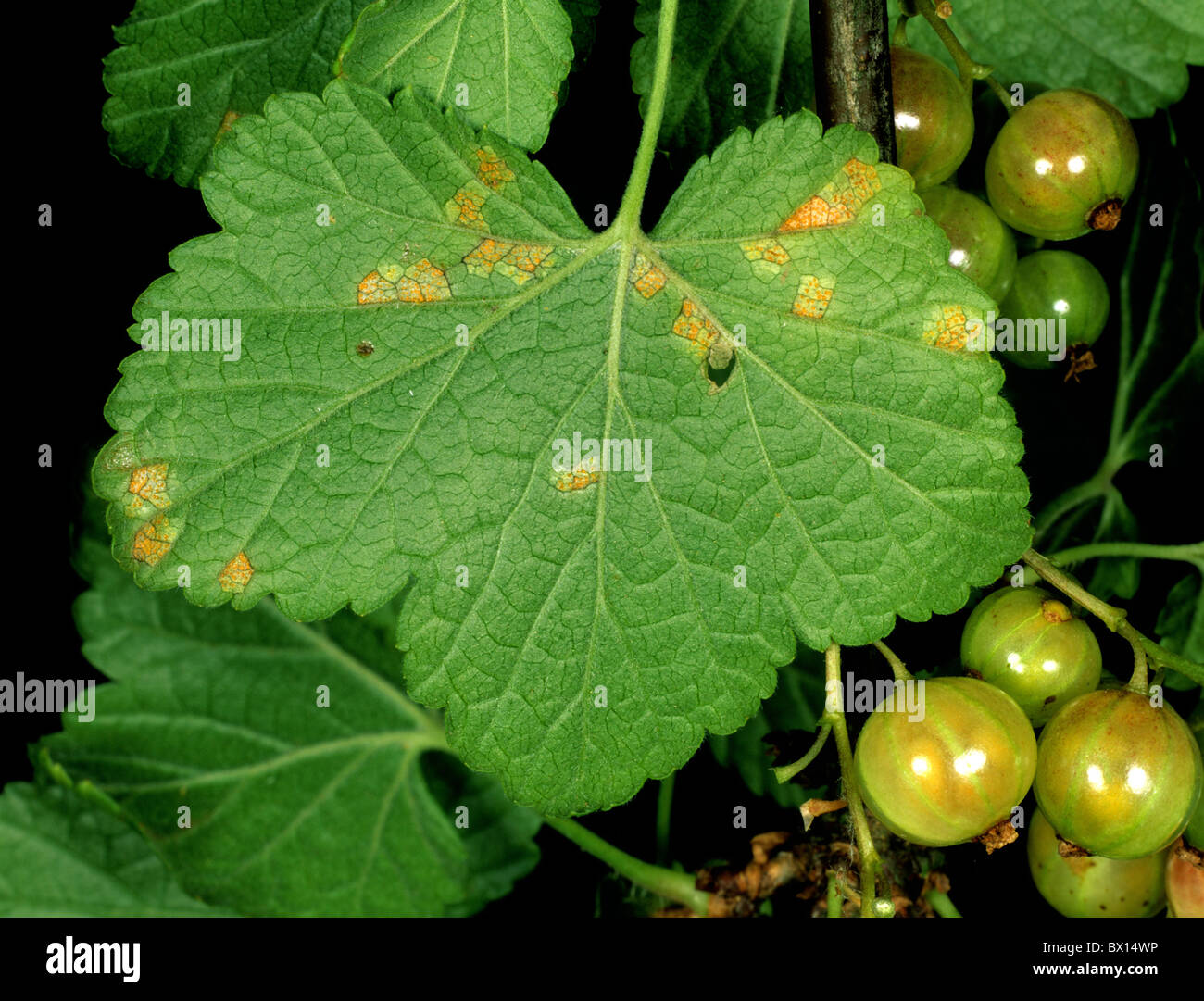 Early sympyoms gooseberry cluster cup (Puccinia caracina) on currant leaf underside - Stock Image