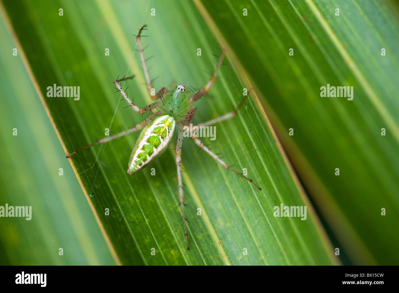 Green Lynx spider on a leaf in India - Stock Image