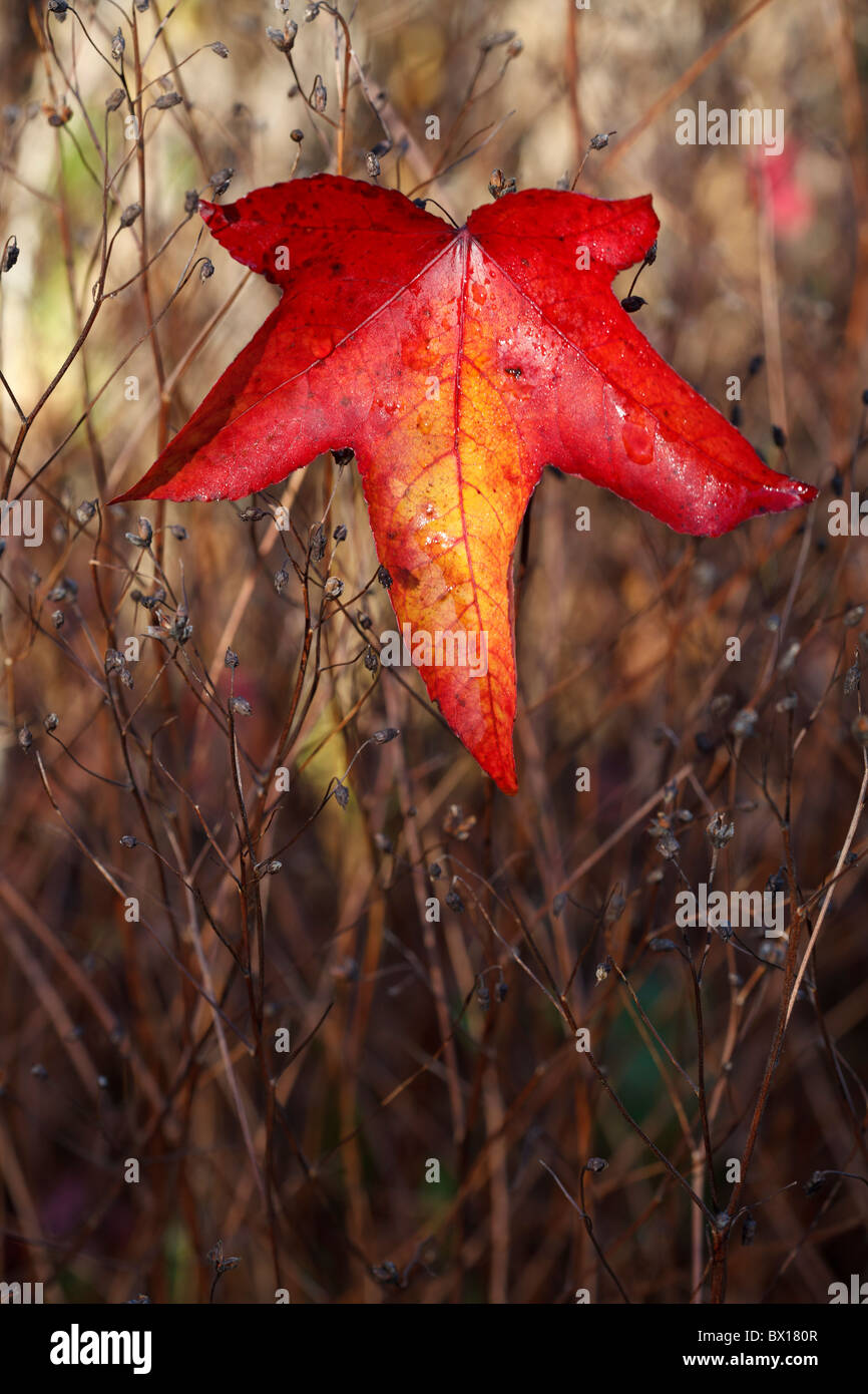 Fallen leaf of Liquidambar - Oriental Sweetgum - Stock Image