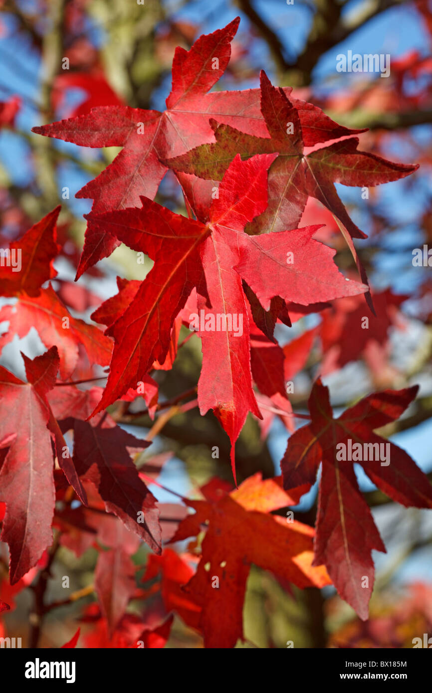 Red Autumn leaves of Liquidambar - Oriental Sweetgum - Stock Image