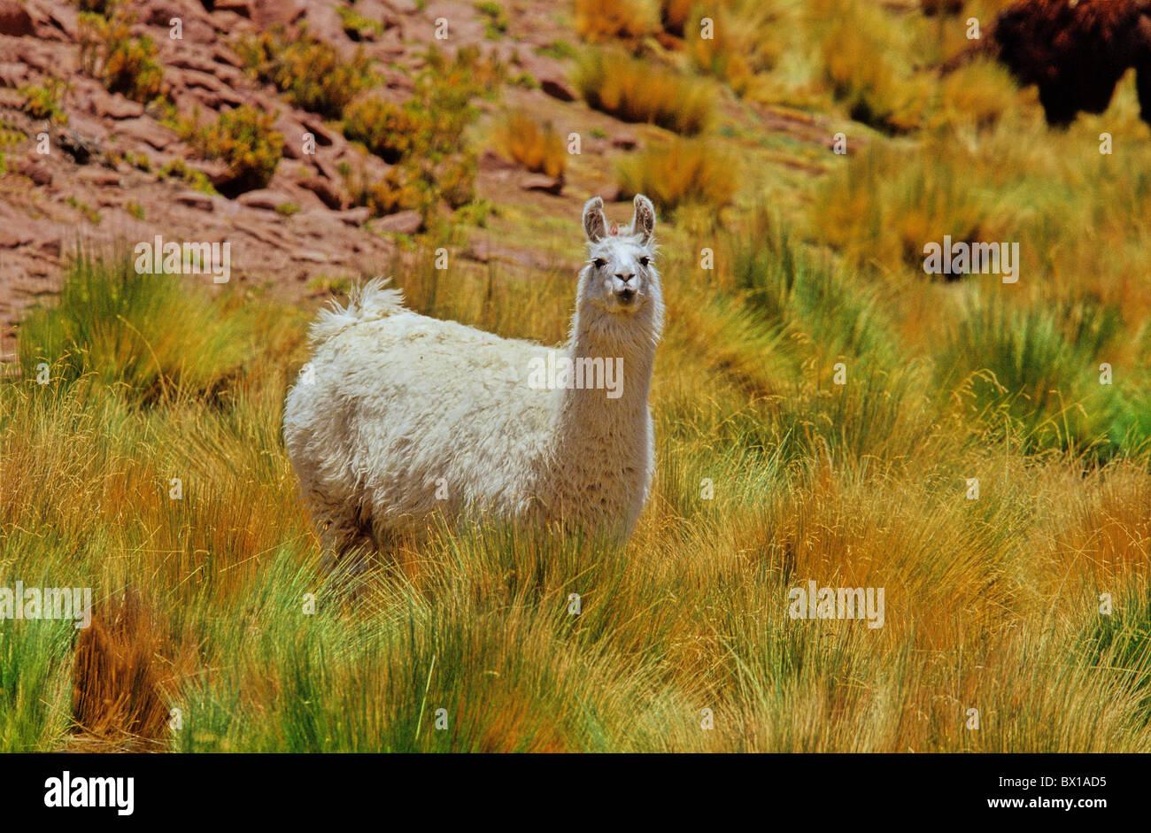 Andes Atacama Region Chile South America Lama Lama guanicoe glama animal - Stock Image