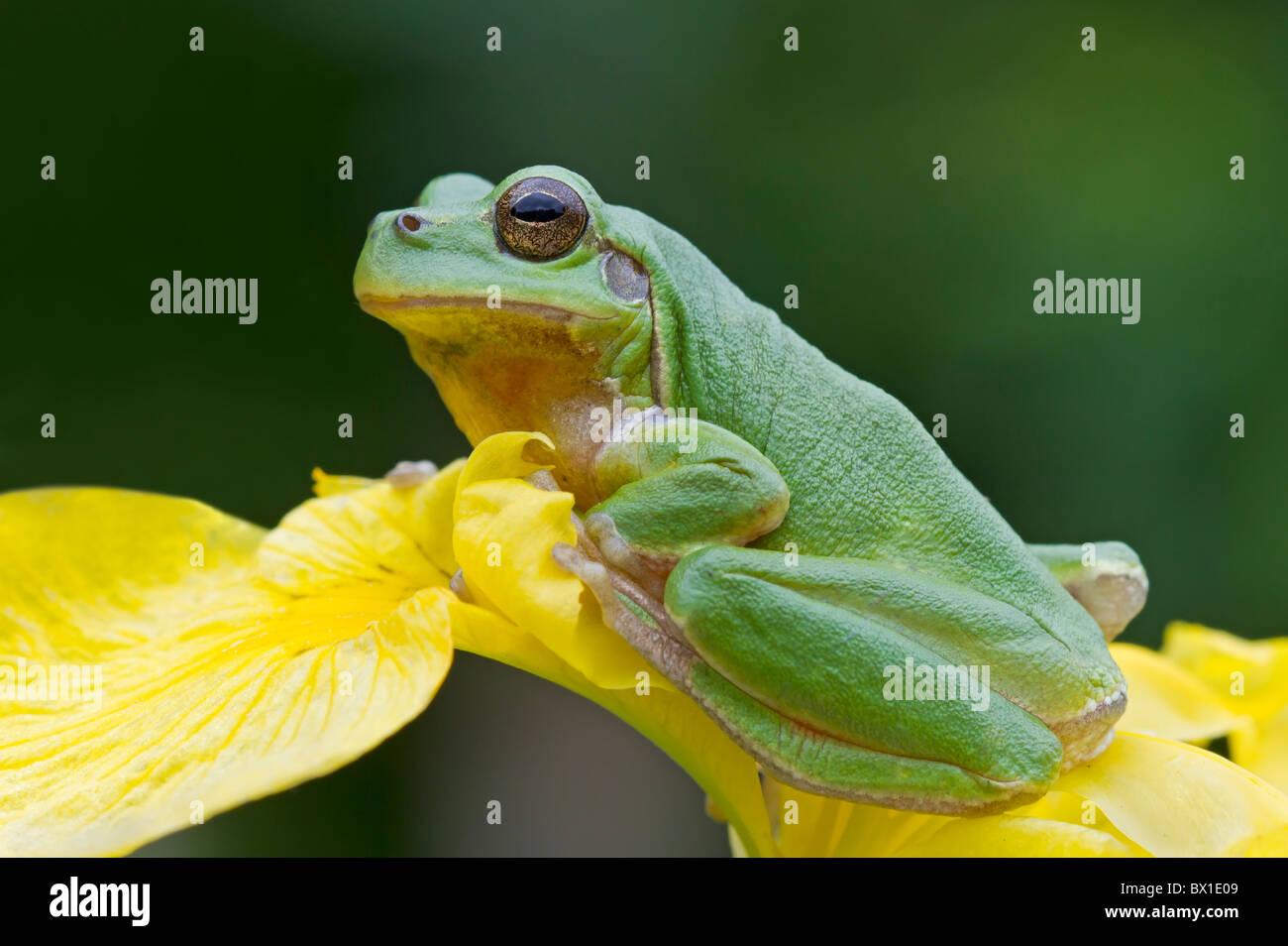 Tree frog sitting on a yellow iris - Hyla arborea - Stock Image