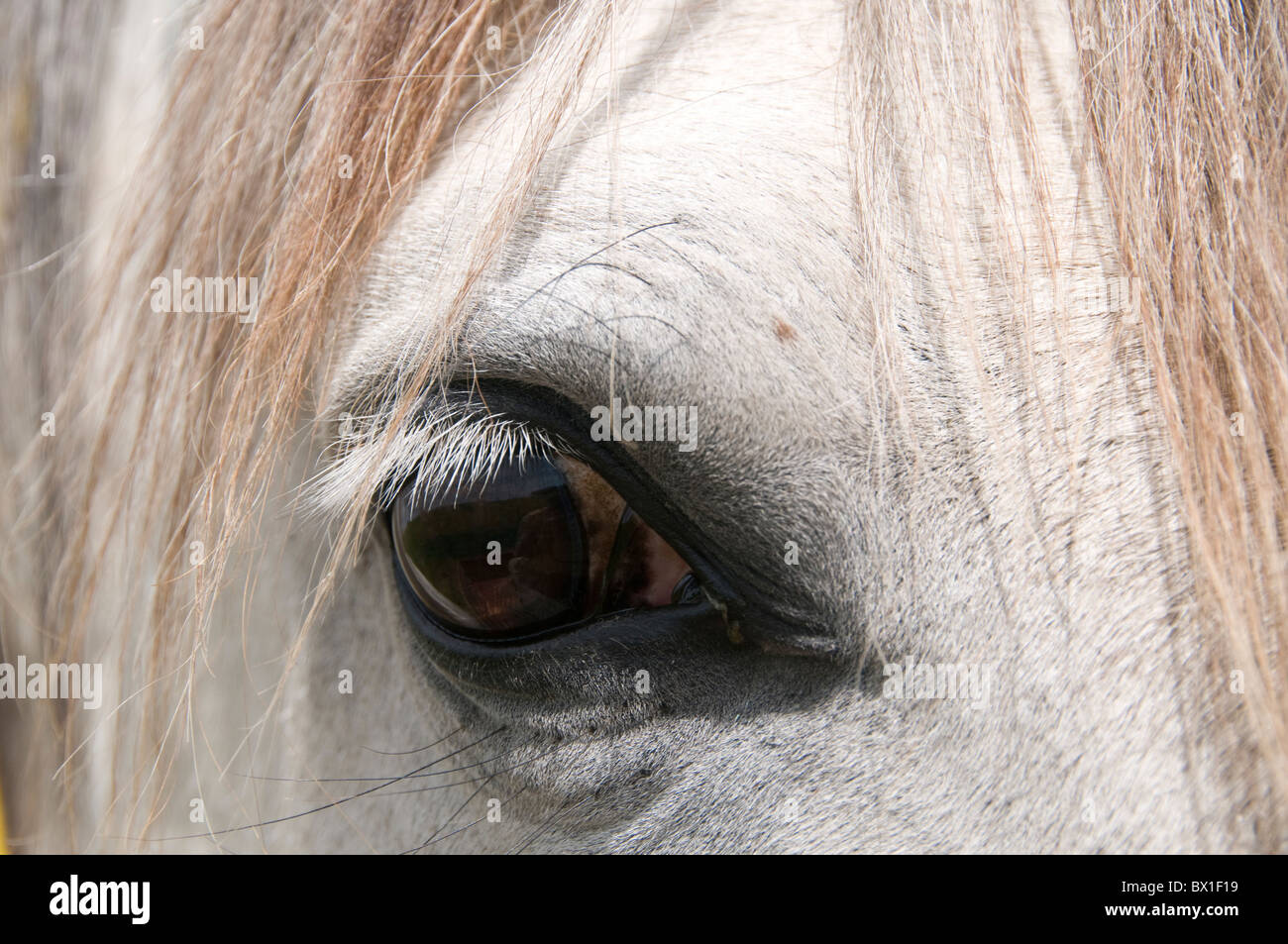 Oregon U.S.A. Gentle eye of a Lusitano mare. This is a breed of horse reared for centuries for intellignce. - Stock Image