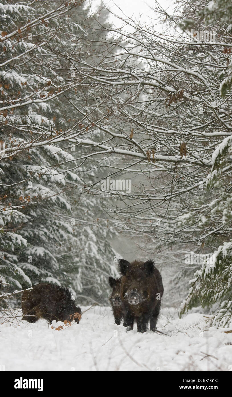 Wild boars in the snow - Sus scrofa - Stock Image
