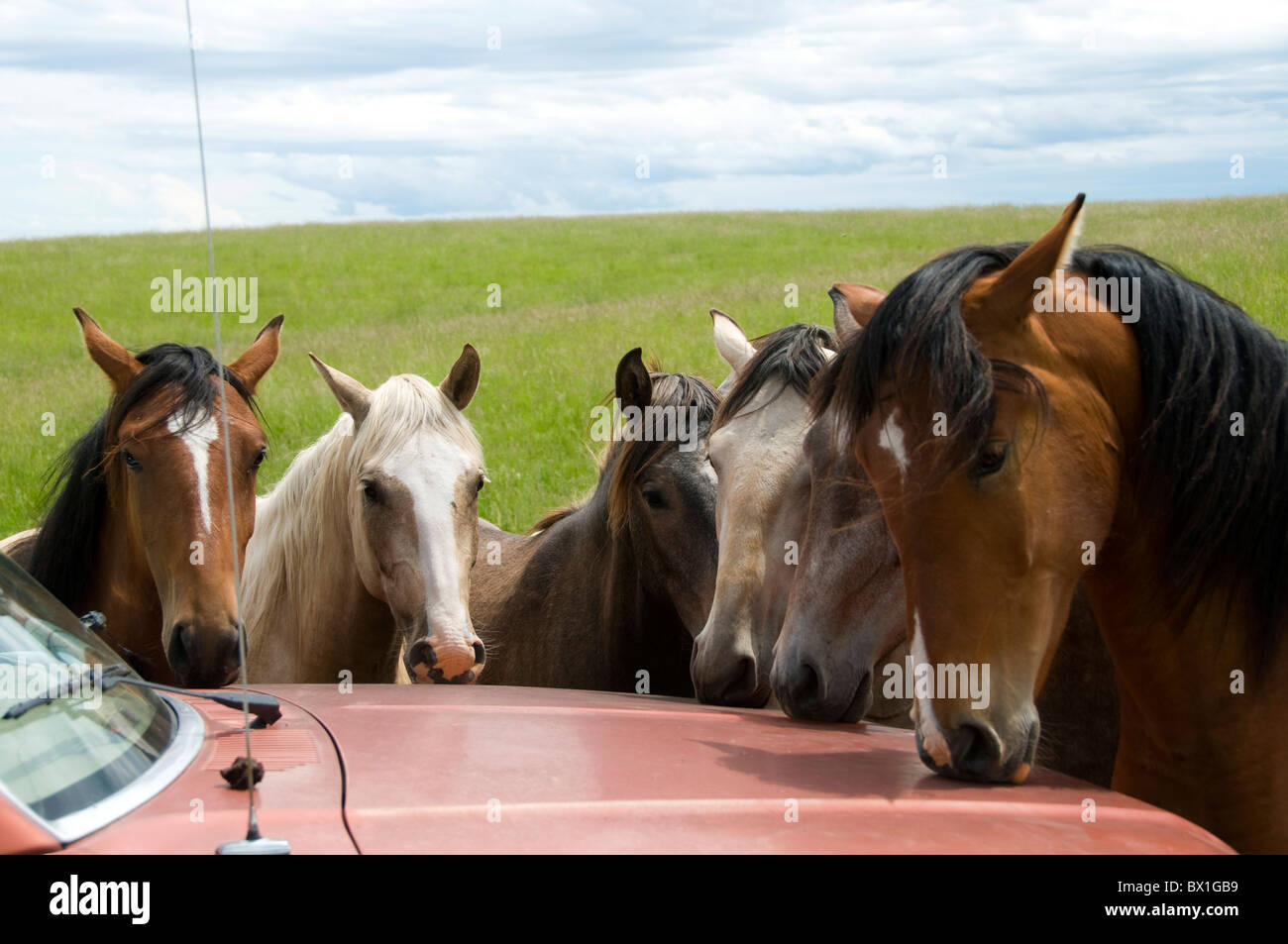 Lusitano horses attracted by smell of paint on hood of car.  They lick it which is not healthy for the car nor the - Stock Image