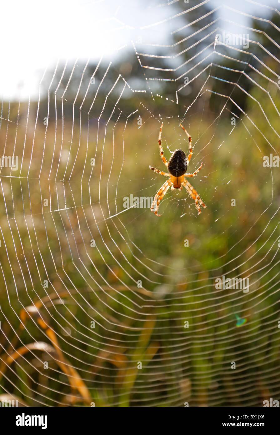 Garden spider in a meadow - Araneus diadematus - Stock Image