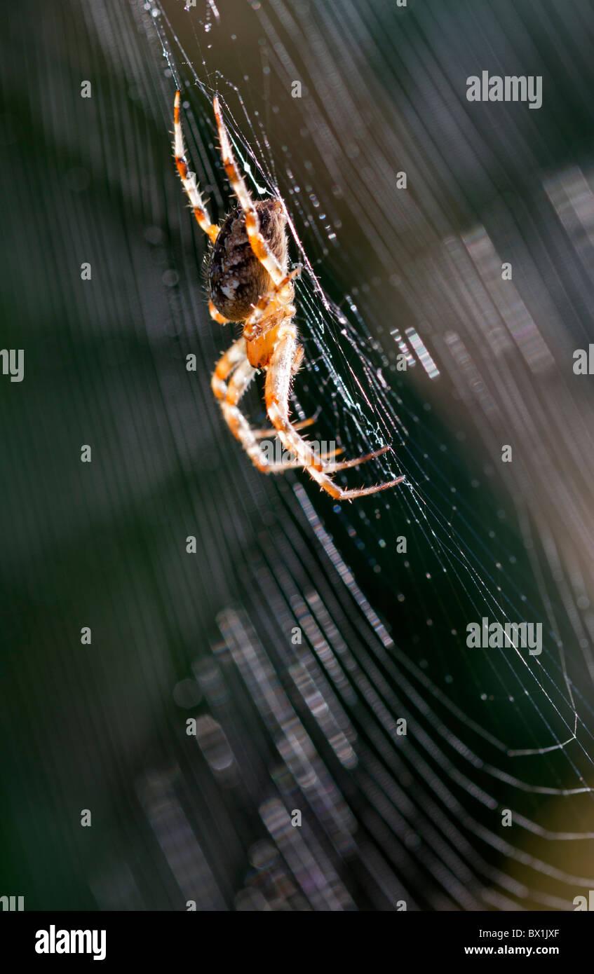 Profile of a garden spider in a web  - Araneus diadematus - Stock Image