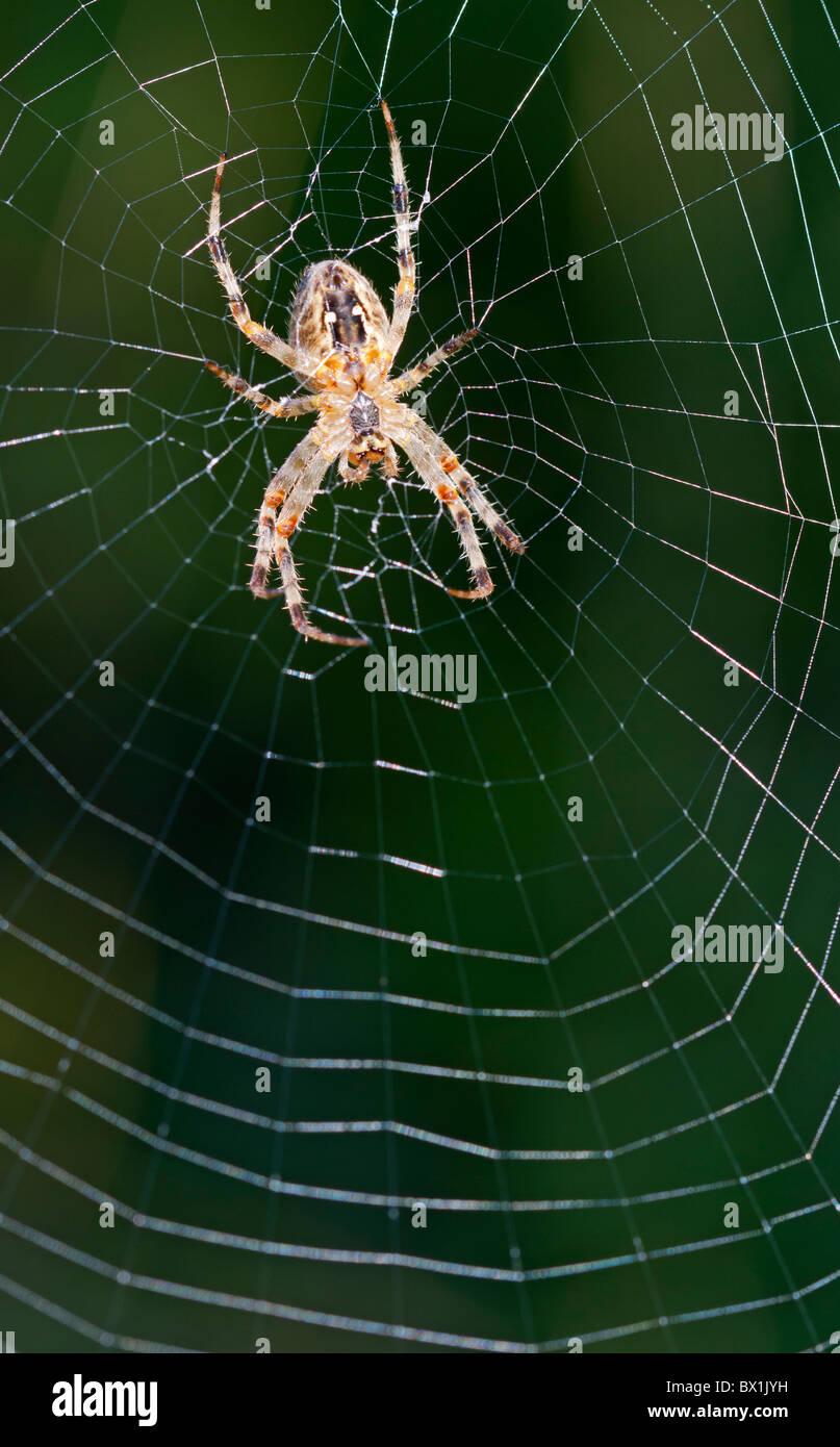 Garden spider in the middle of a web - Araneus diadematus - Stock Image