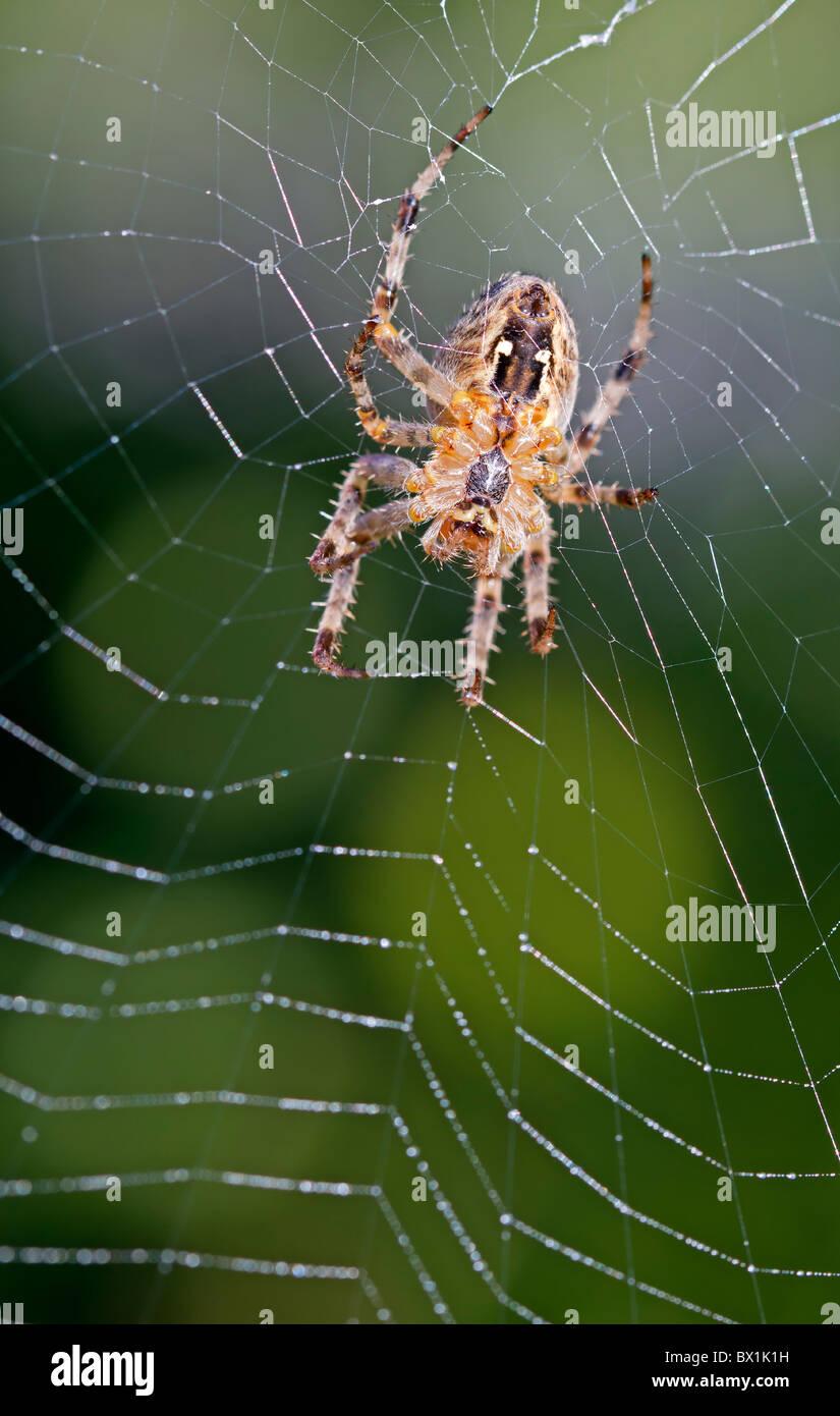 Garden spider repairing its web - Araneus diadematus - Stock Image