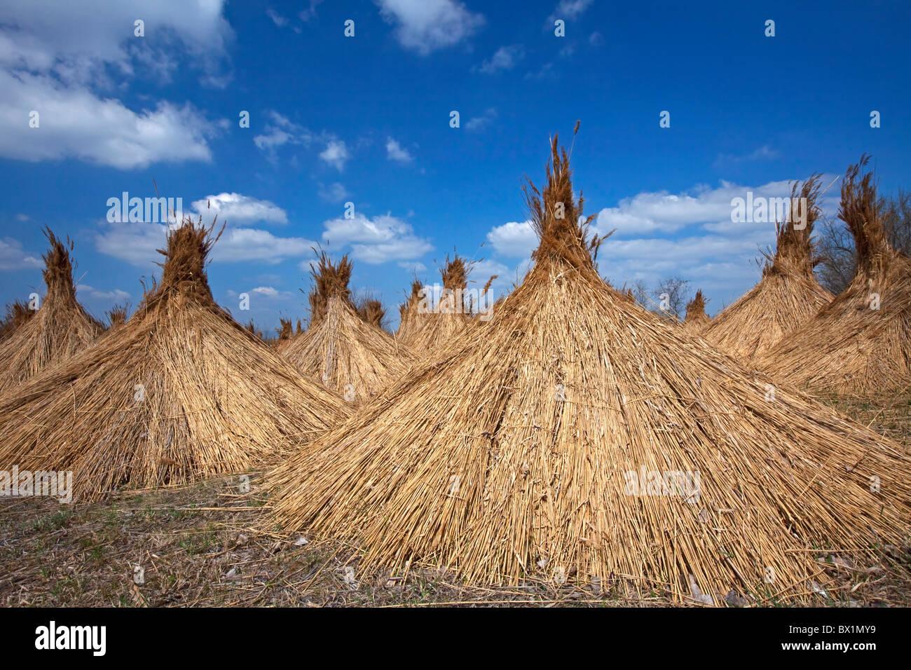 Common Reed (Phragmites australis / Phragmites communis) harvested bundles drying at Neusiedler Lake, Austria - Stock Image
