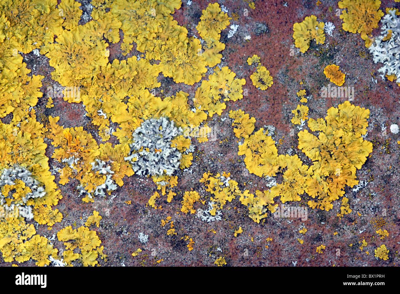 Lichen (Xanthoria parietina) growing on tile - Stock Image