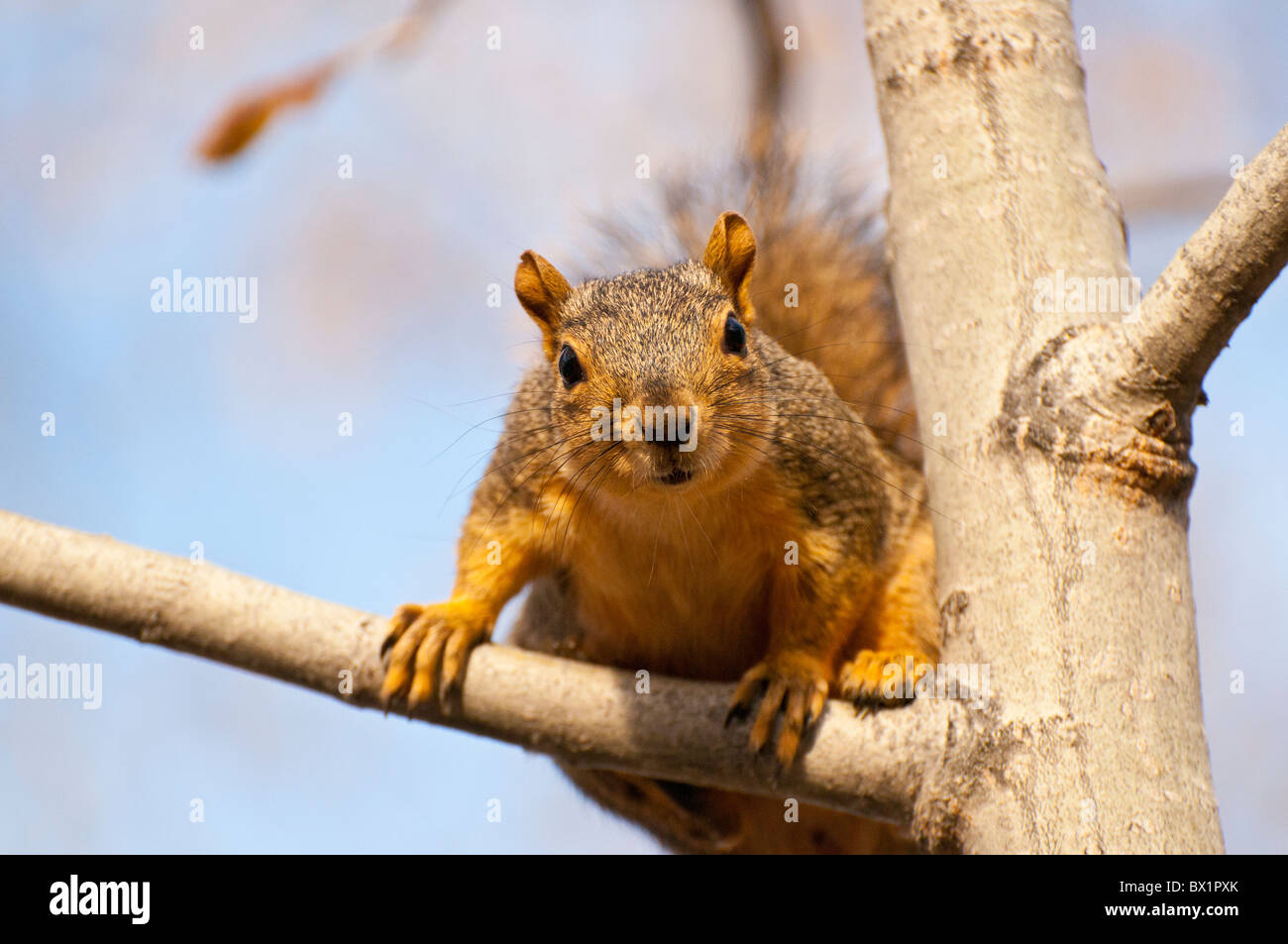USA, Boise, Idaho, Wildlife, Brown Squirrel in tree on the boise river Greenbelt. - Stock Image