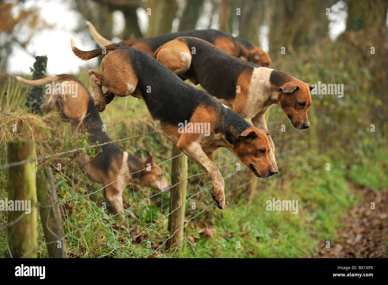foxhounds jumping barbed wire fence - Stock Image