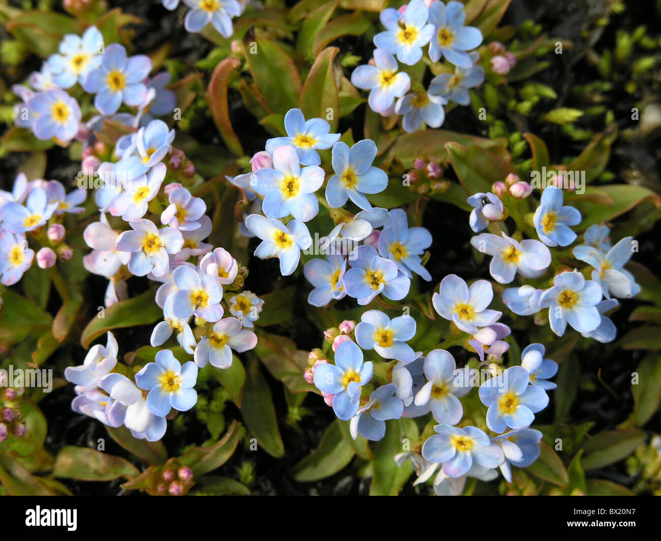 blossom blossoms botany flowers Lake of Constance forget-me-not Myosotis rehsteineri Wartmann plant red list - Stock Image