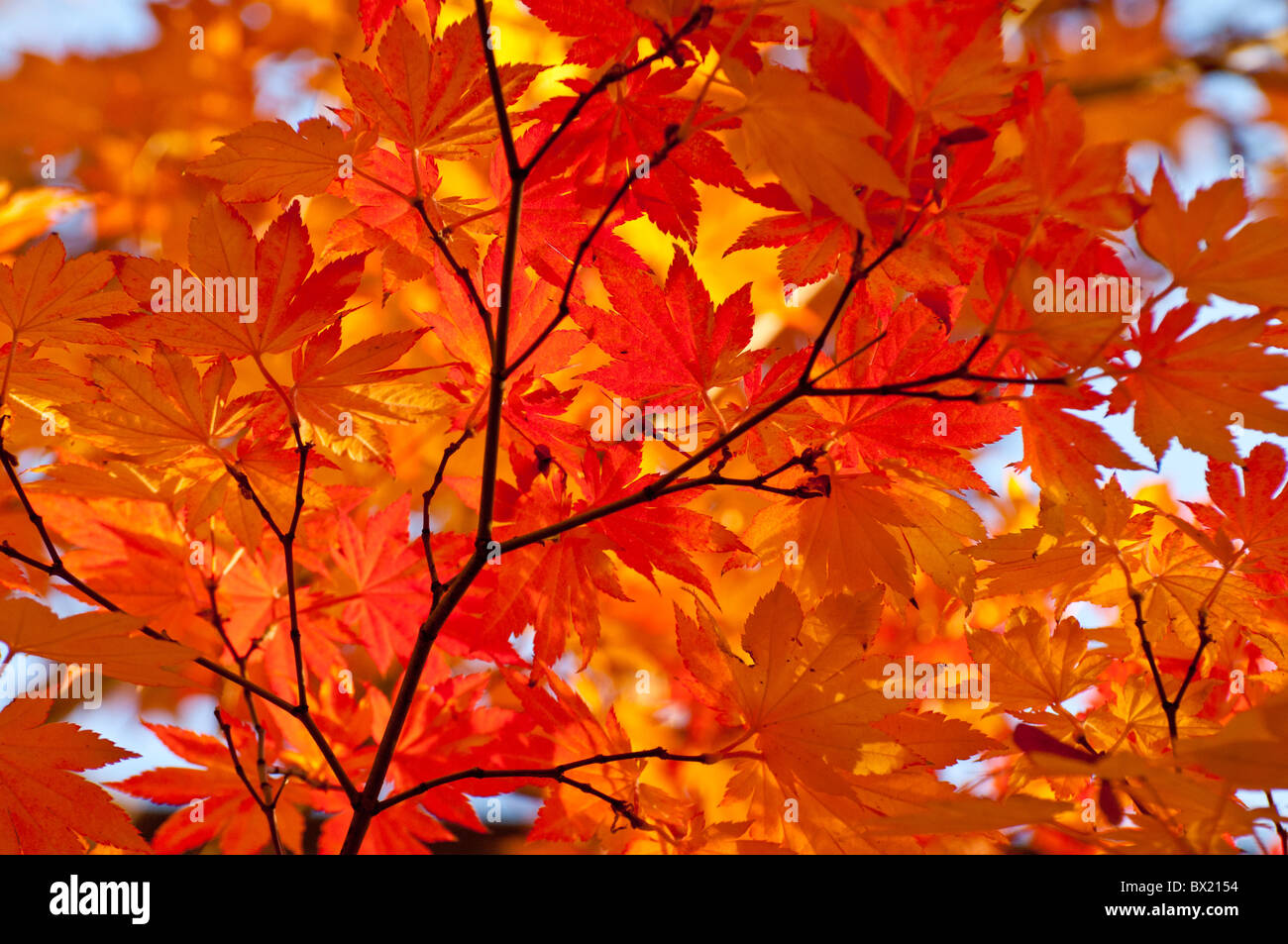 USA, Idaho, City of Boise, Scenic view of Fall colors, trees and leaves on the Boise River Greenbelt. - Stock Image