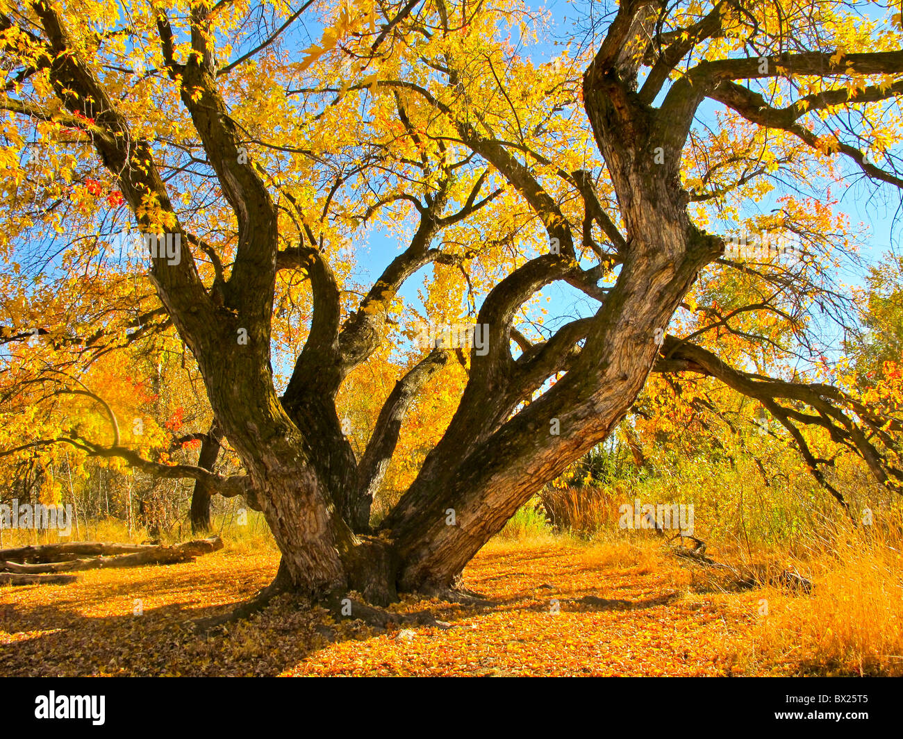 USA, Boise, Beautiful Maple tree on the Boise River Greenbelt in the fall. - Stock Image