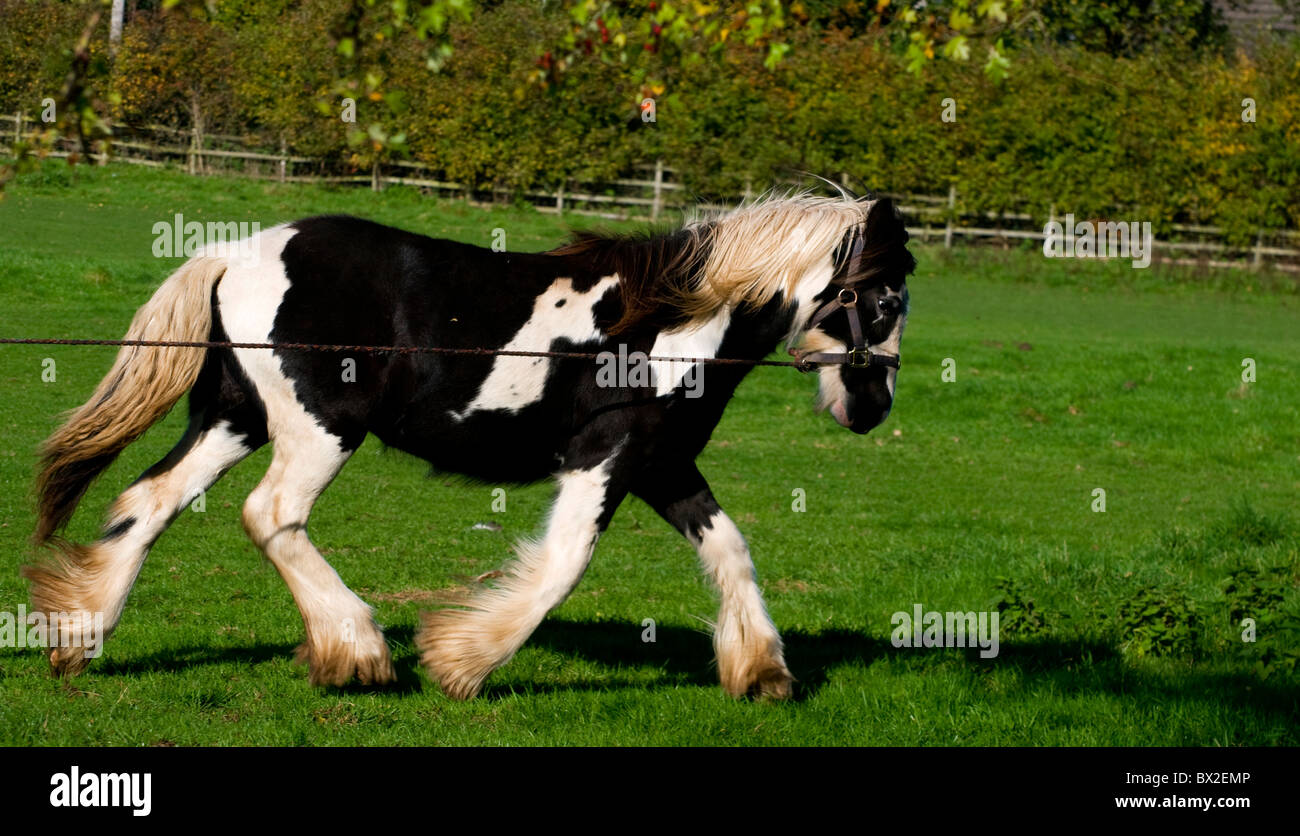 Brown and White shire horse trotting from left to right of landscape shot on lunge line being exercised - Stock Image
