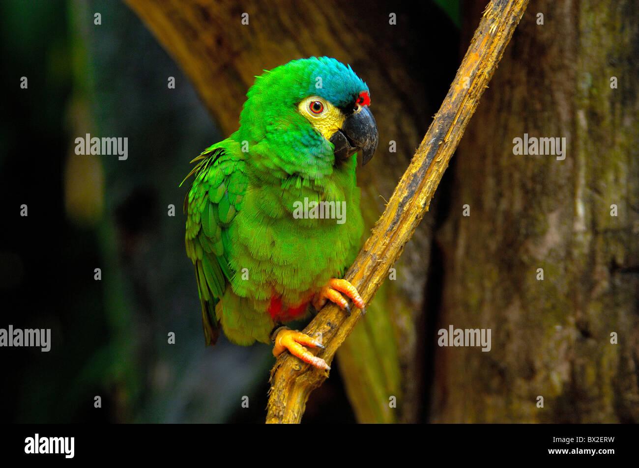 parrot bird tropics Parque das aves Foz do Iguazu Iguacu Iguassu Falls Parana Brazil - Stock Image