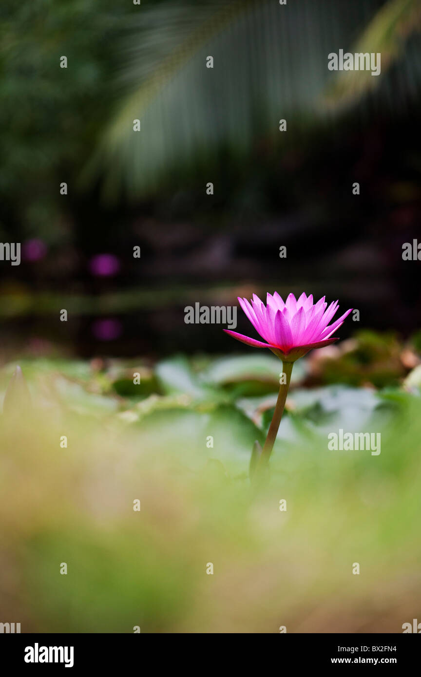 Nymphaea. Tropical waterlily flower in a pond in India. Shallow Depth of field - Stock Image