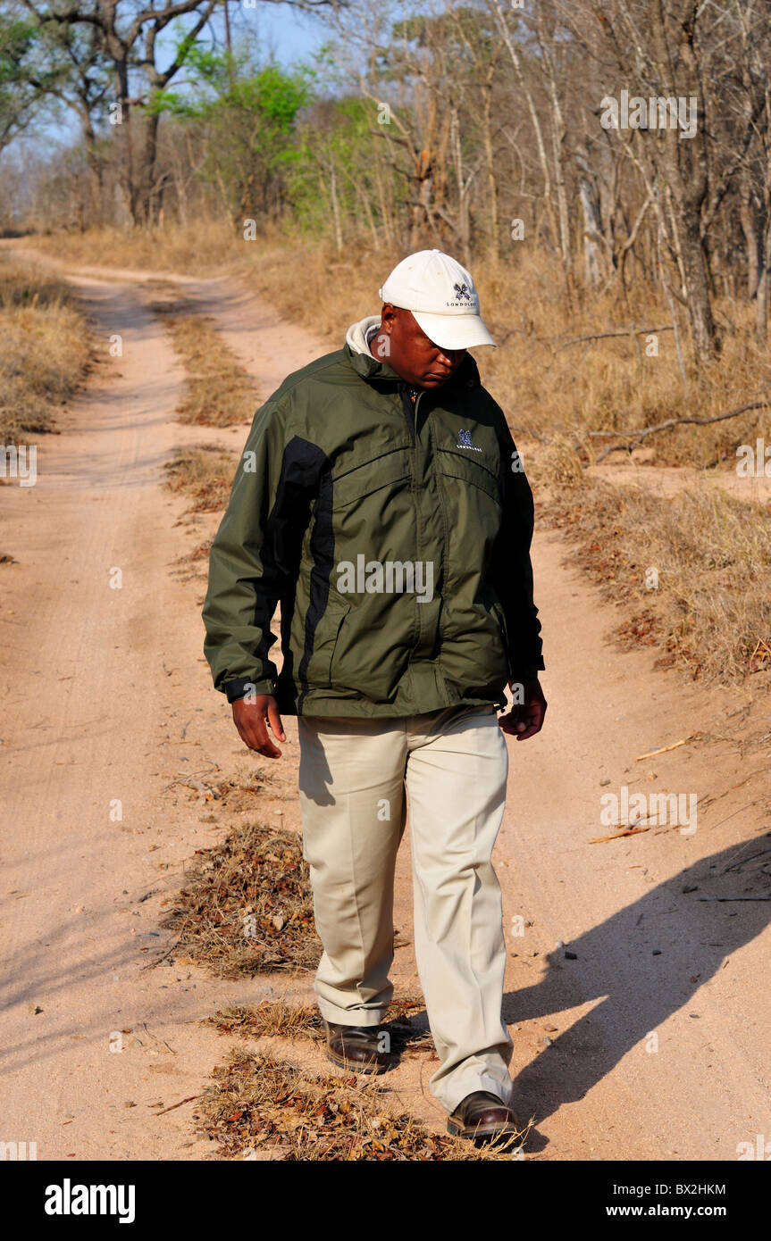 A park ranger looking for animal track. Kruger National Park, South Africa. - Stock Image