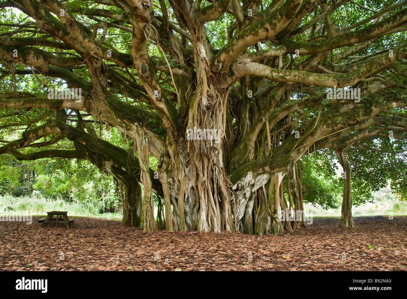 Mature Banyan Tree, aerial prop roots, - Stock Image