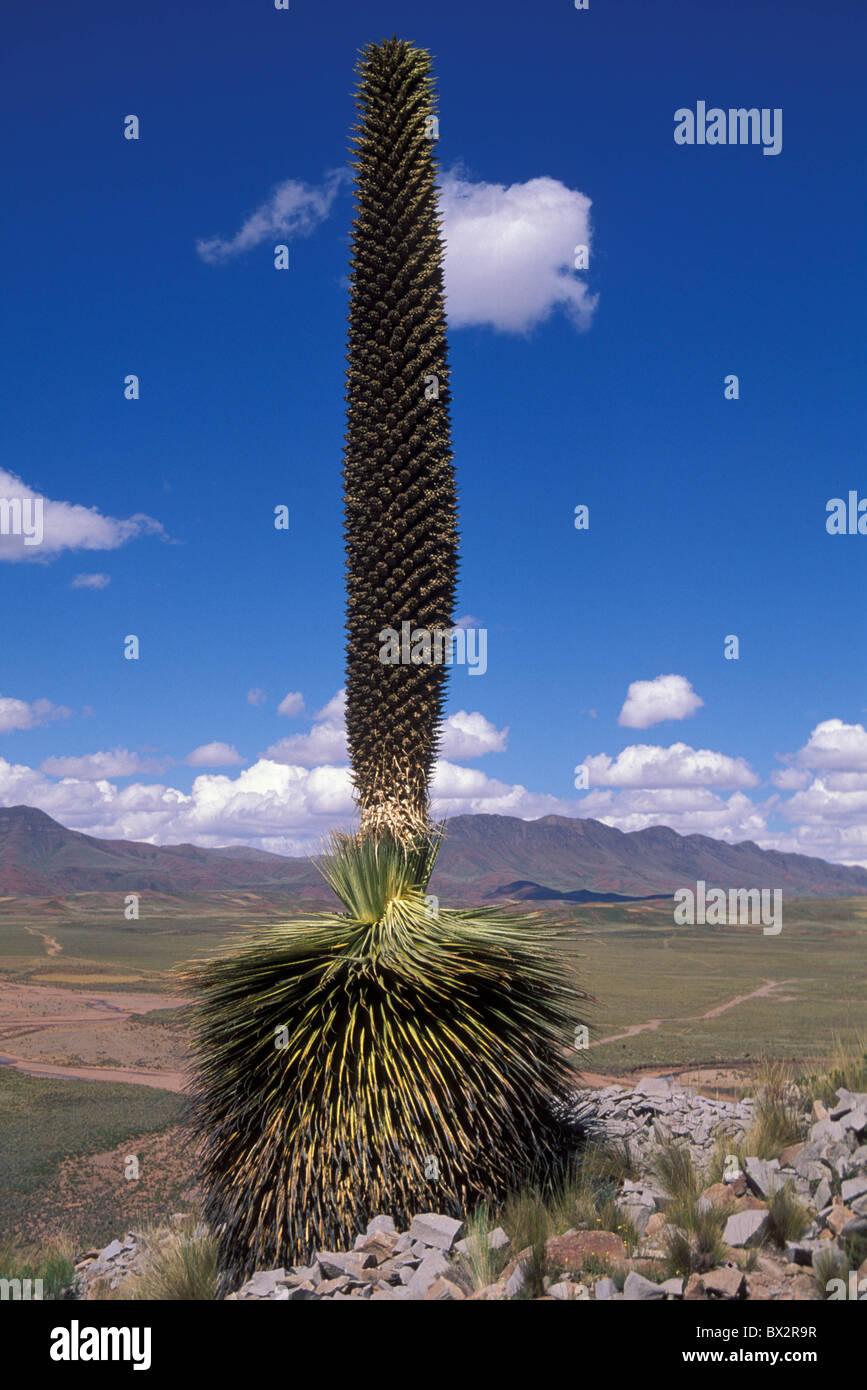 Altiplano Bolivia endangered plant Puya Raimondii South America America Cerro Comanche Stock Photo