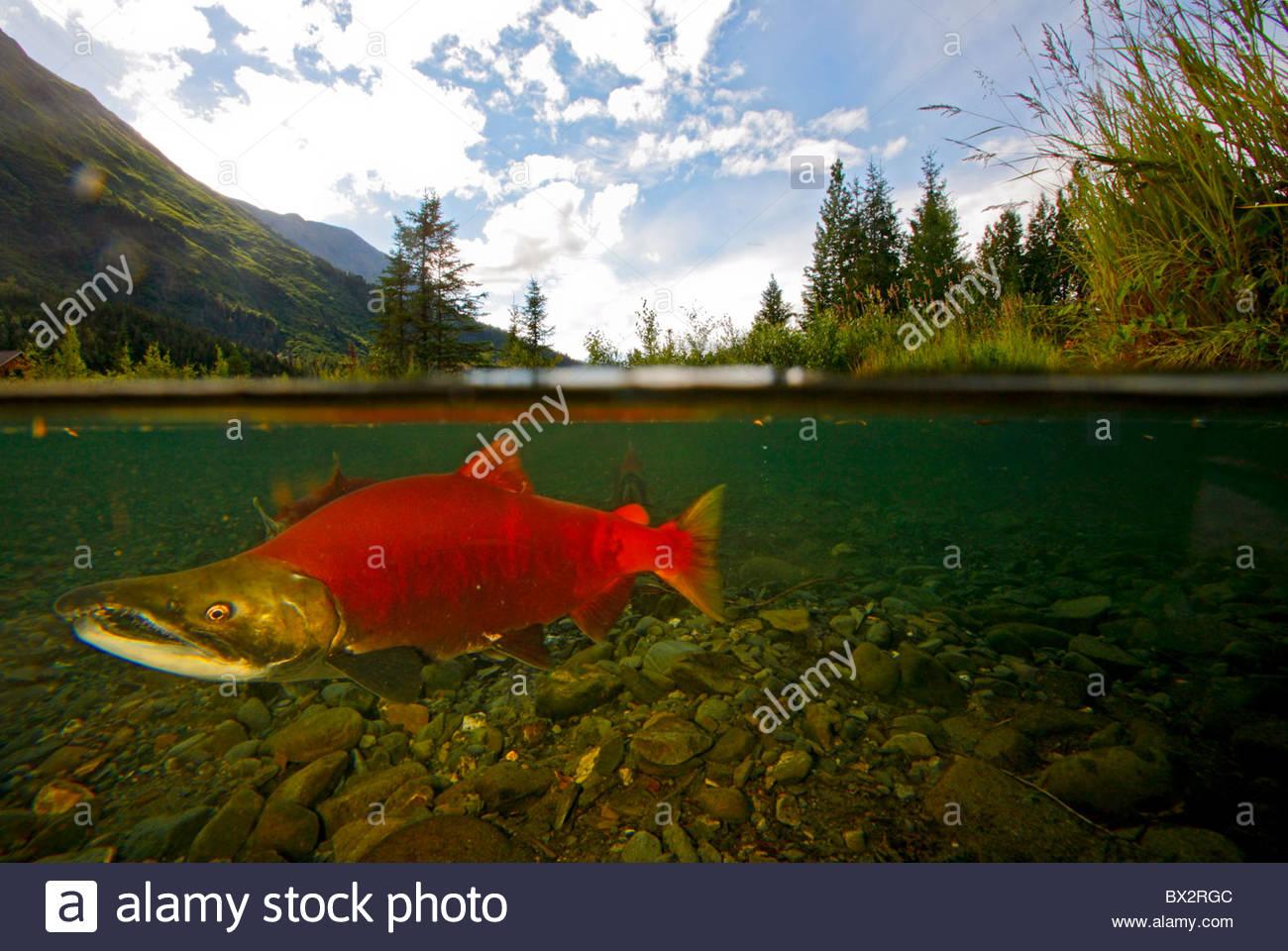 Spawning Red Salmon, Tern Lake, Kenai Peninsula, Chugach National Forest, Alaska. - Stock Image