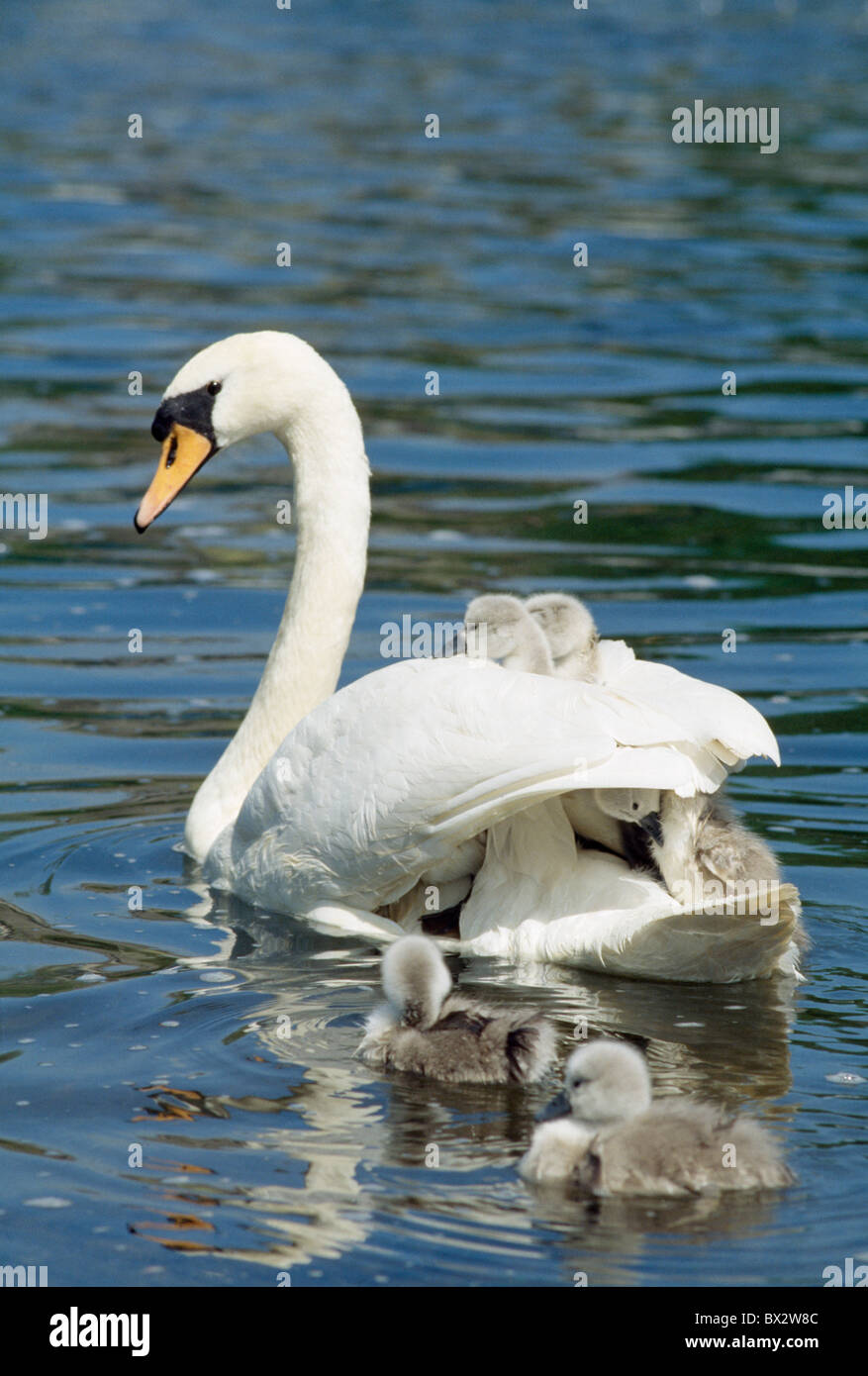 Swan And Cygnets, Clonmel, Co Tipperary, Ireland - Stock Image