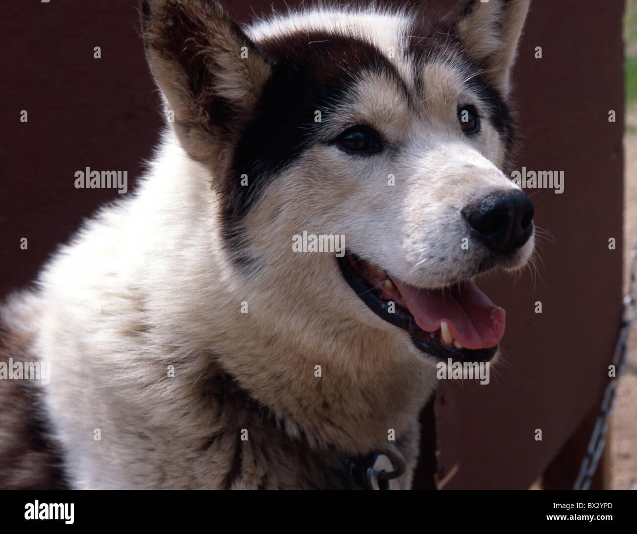 Sled Dog (Husky) in Chena Hot Springs near Fairbanks, Alaska, USA - Stock Image
