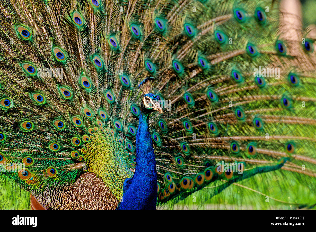 the national bird peacock essays The peacock, pavo cristatus (linnaeus), is the national bird of india it is a symbol of grace, joy, beauty and love the significance of peacock is attached to cultures of india, far east, ancient persia, greek and christian in hinduism, the image of the god of thunder, rains and war, indra, was.