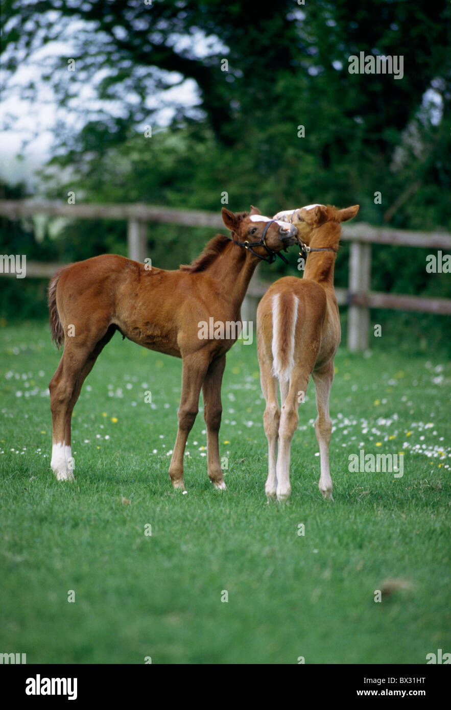 Horses - Thoroughbreds, Foals, - Stock Image