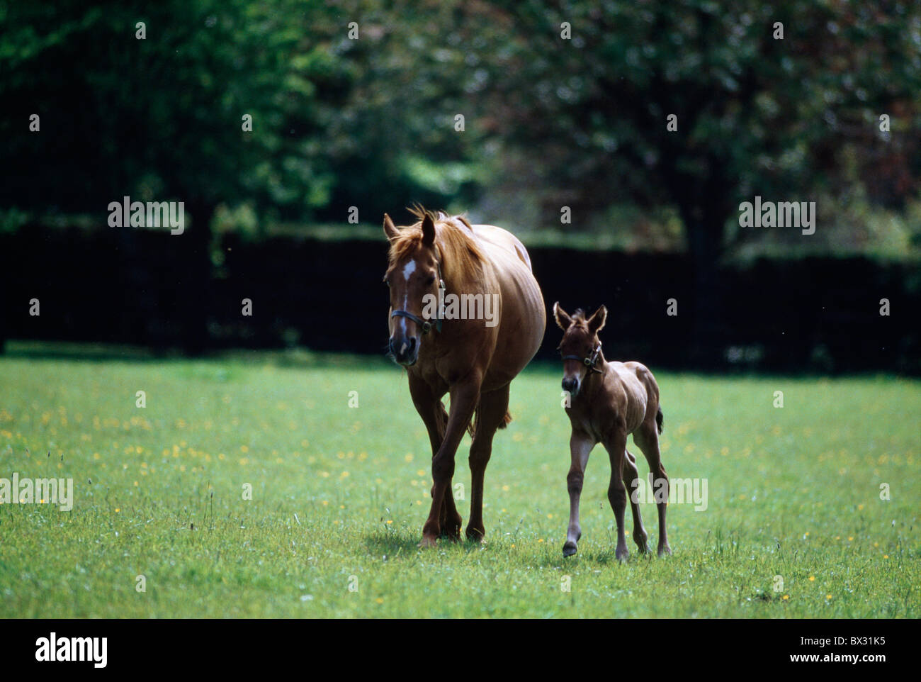 Horses - Thoroughbred, Mare And Foal, - Stock Image