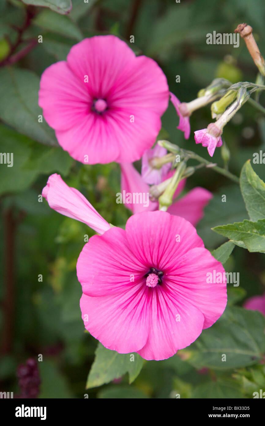 Lavatera mallow malvaceae trimestris cultivars pink reddish pink lavatera mallow malvaceae trimestris cultivars pink reddish pink mediterranean flowers in bloom growing in a garden loire france mightylinksfo