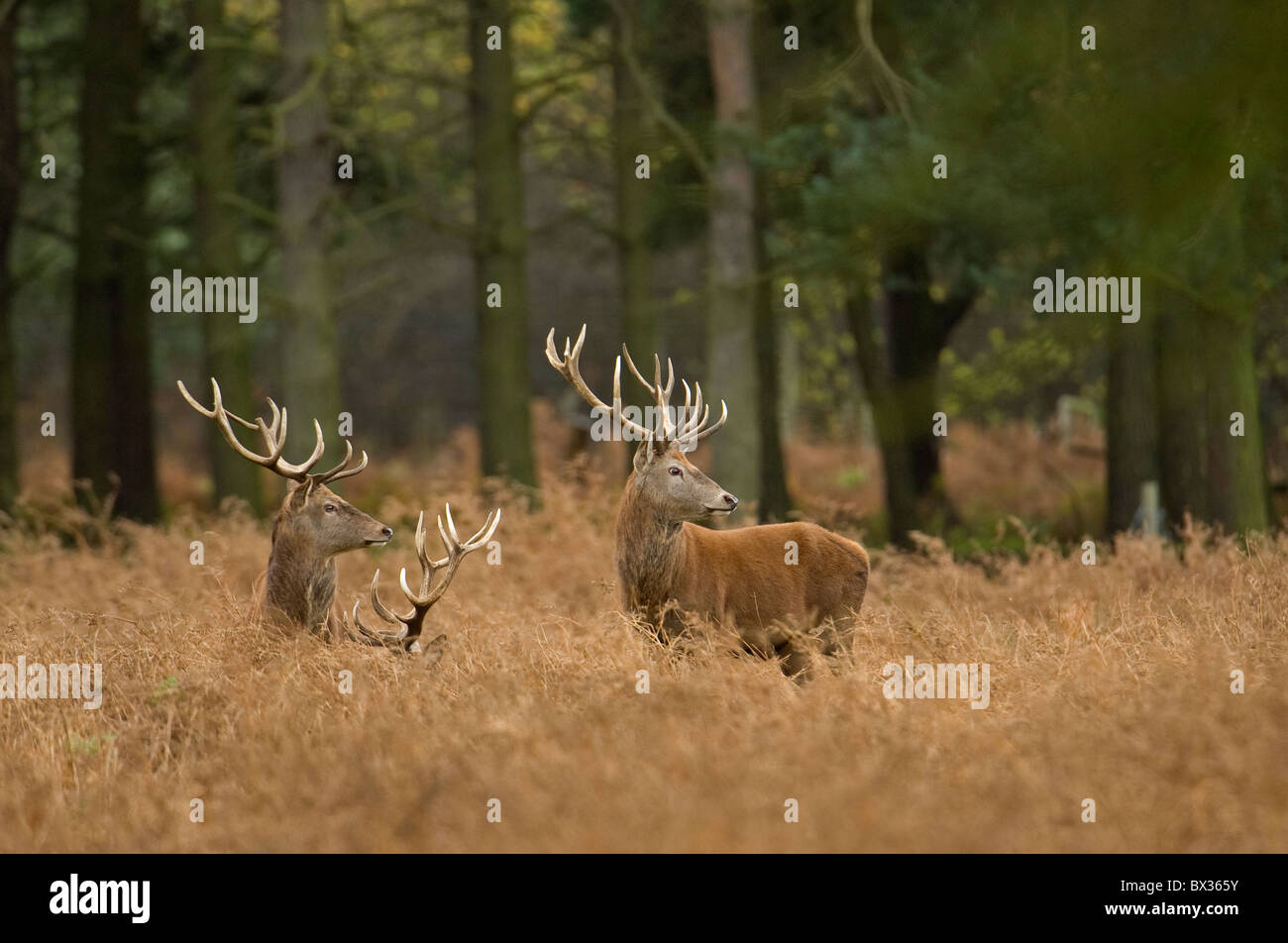 Red deer stag in golden bracken. - Stock Image