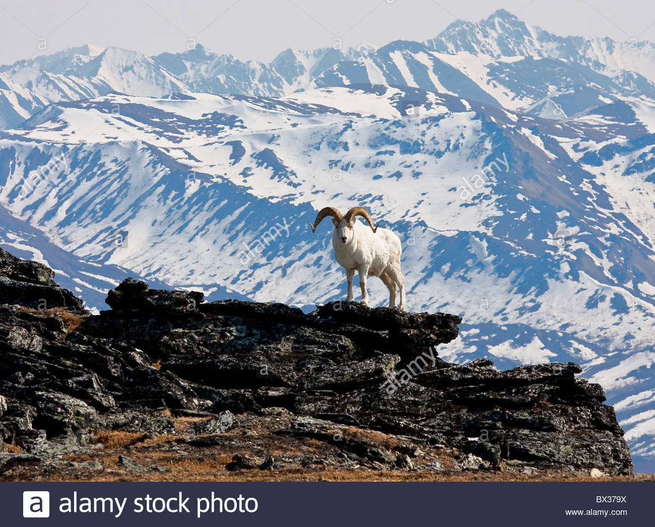 Alaska. Dall sheep (Orvis dalli) full curl ram with Mt Healy and front range ridge in background, Denali National - Stock Image