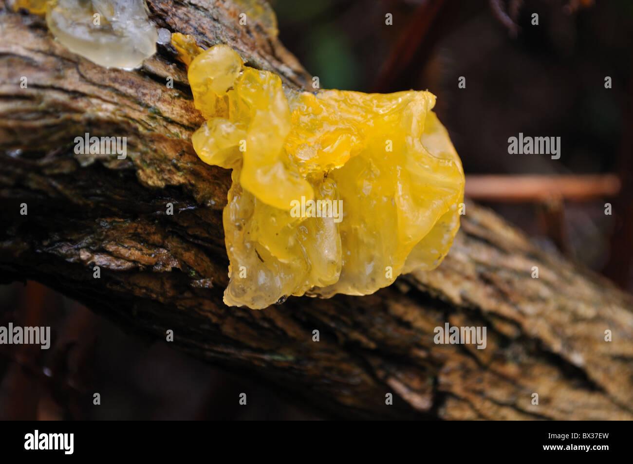 Fungi Yellow brain fungus - Stock Image