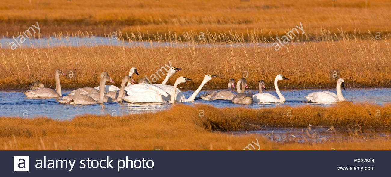 Alaska. Tundra swan (Cygnus columbianus) adults and cygnets in a territorial dispute in the wetlands of Safety Sound, Stock Photo