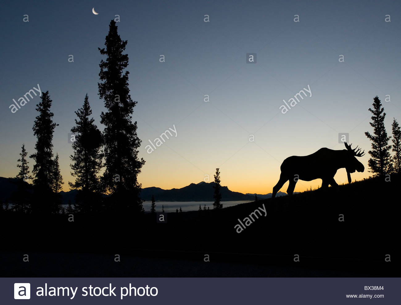 Moose before dawn at denali Park - Stock Image