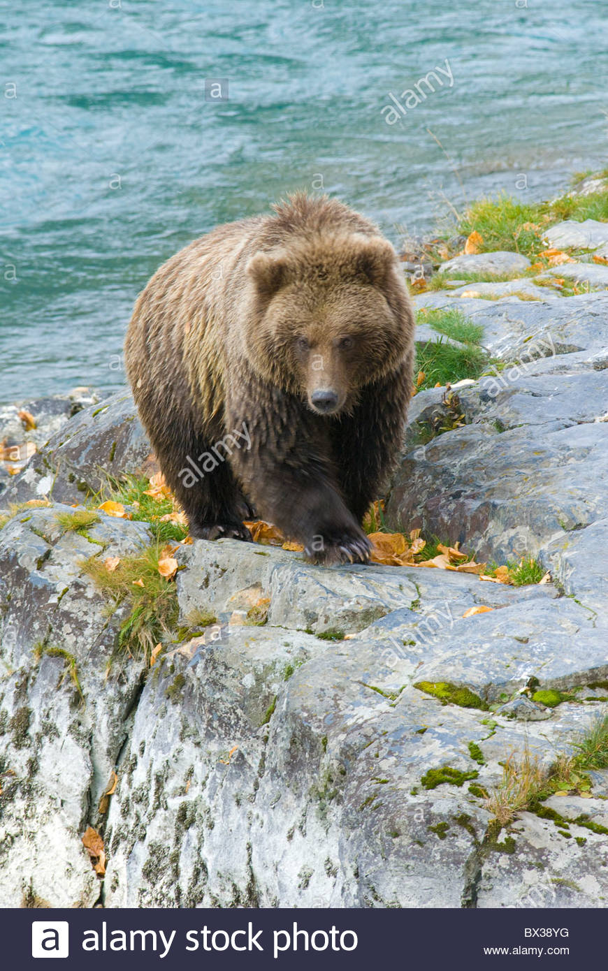 Certainly the most sought after animal sighting in Alaska would be a bear or wolf. They are magnificent mammals - Stock Image