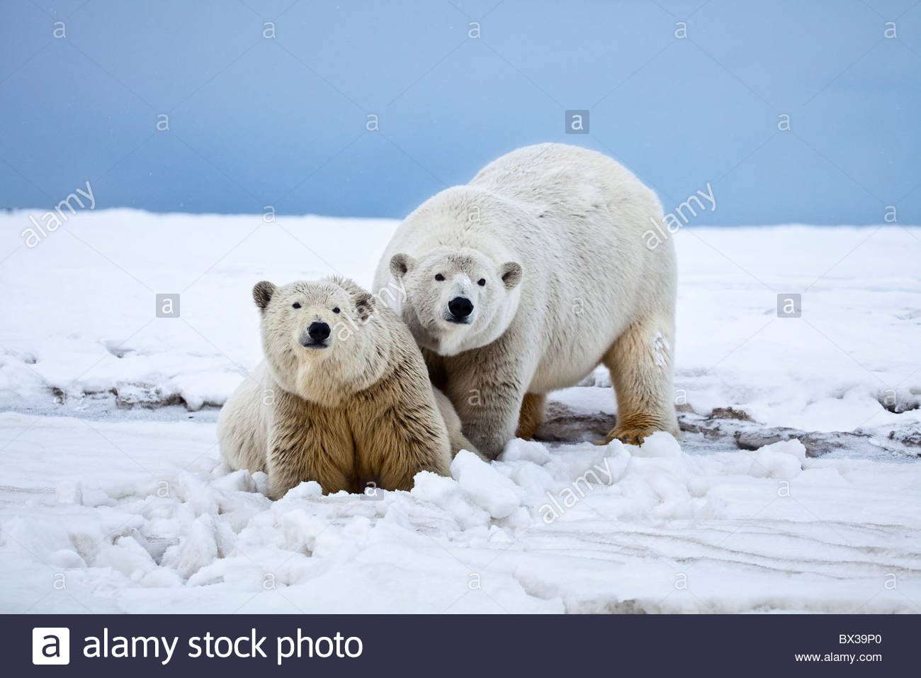A curious polar bear sow with her two year old cub stands at the waters edge on a snowy beach on the Beaufort Sea - Stock Image