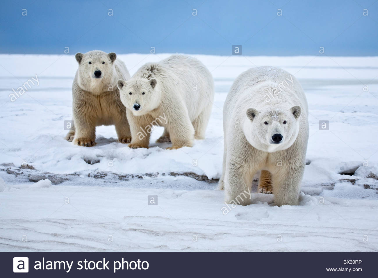 A curious polar bear sow with her twin two year old cubs walks a snowy beach on the Beaufort Sea coast in ANWR, - Stock Image
