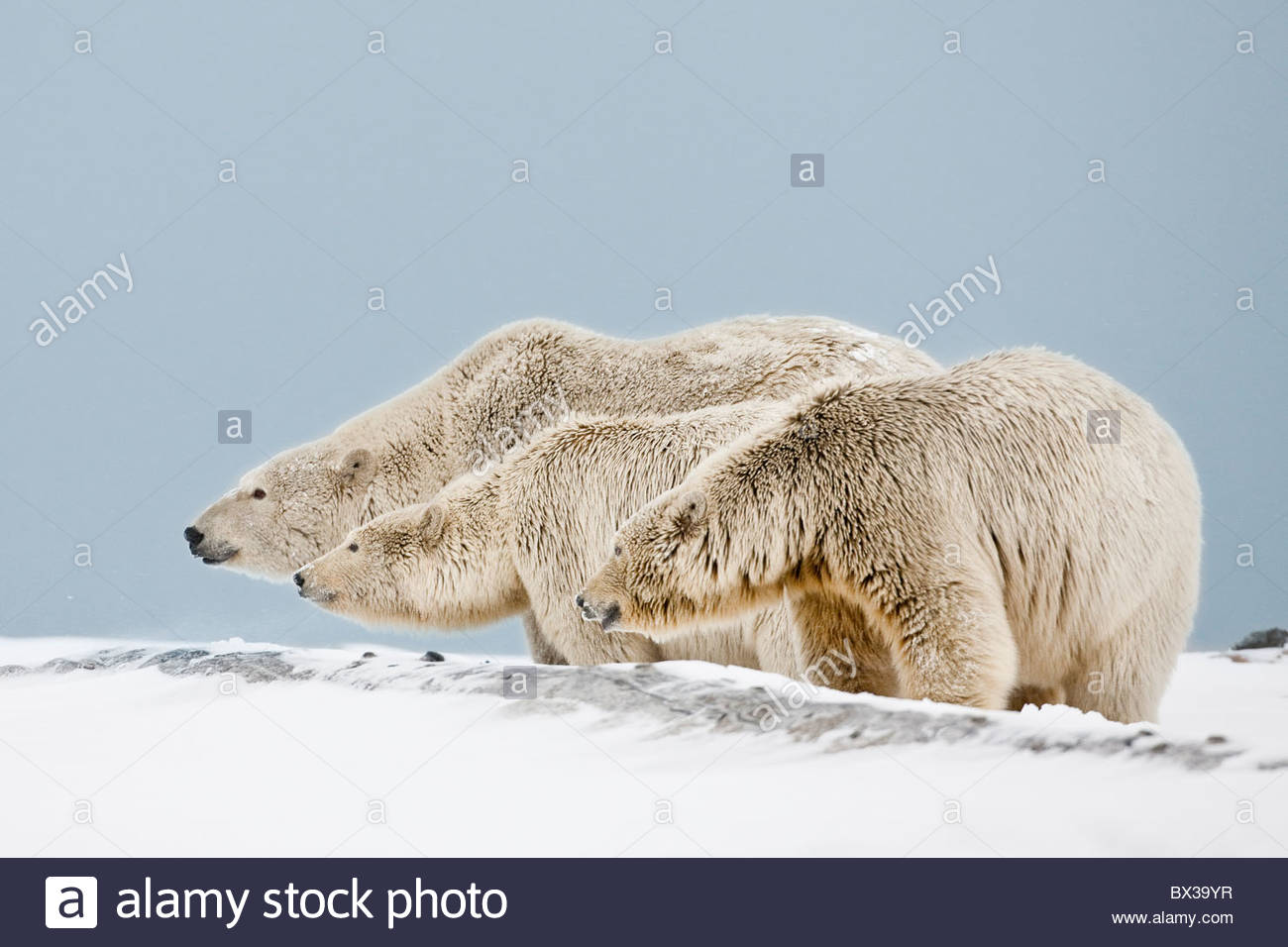 A mother and twin two year old cubs stand up to a strange bear along the Beaufort Sea coastline in ANWR, Alaska - Stock Image