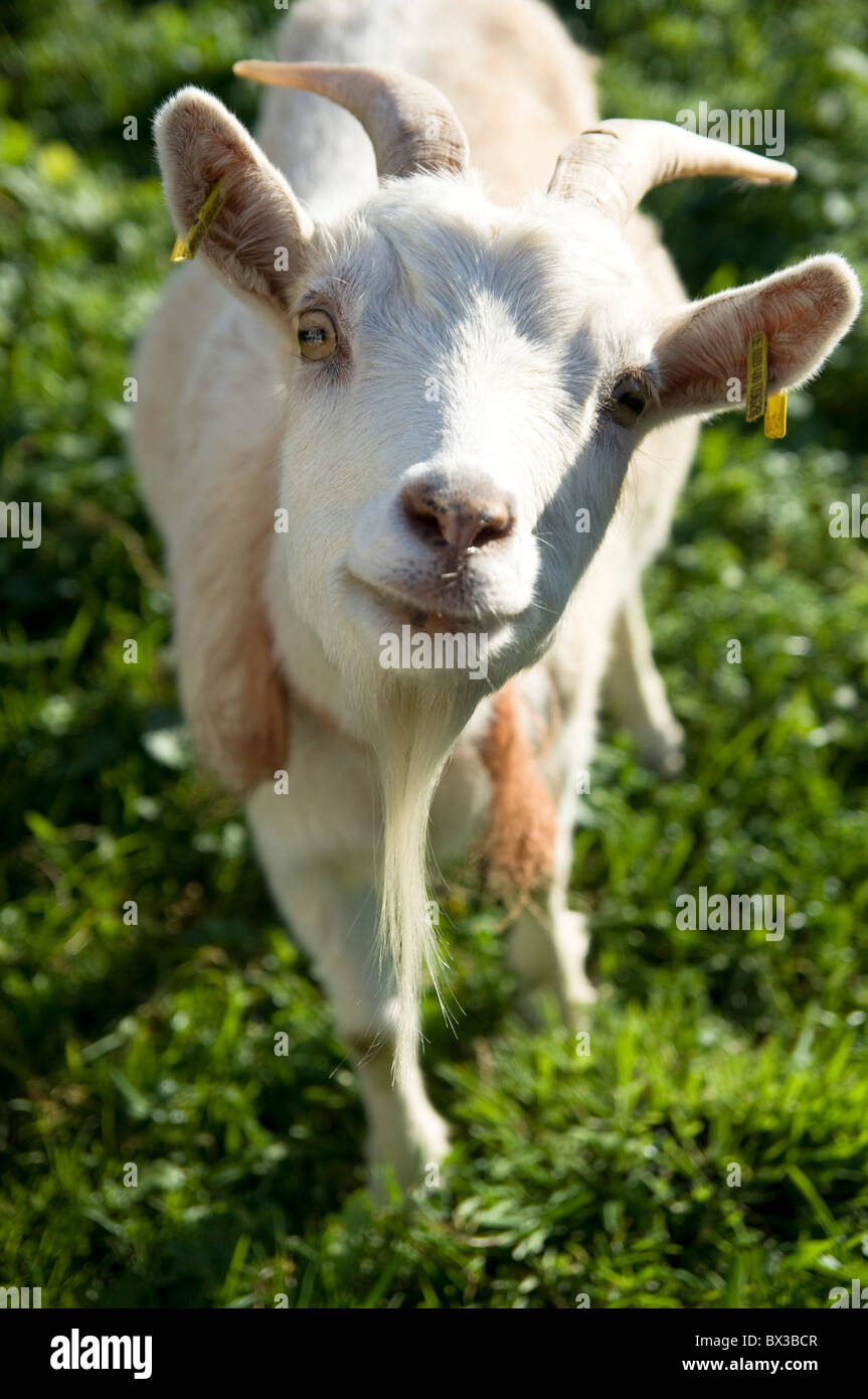 portrait of white goat - Stock Image