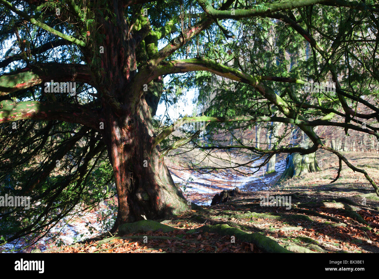 Yew tree, Taxus baccata at the Danebury Iron Age Hill Fort, Hampshire, UK - Stock Image